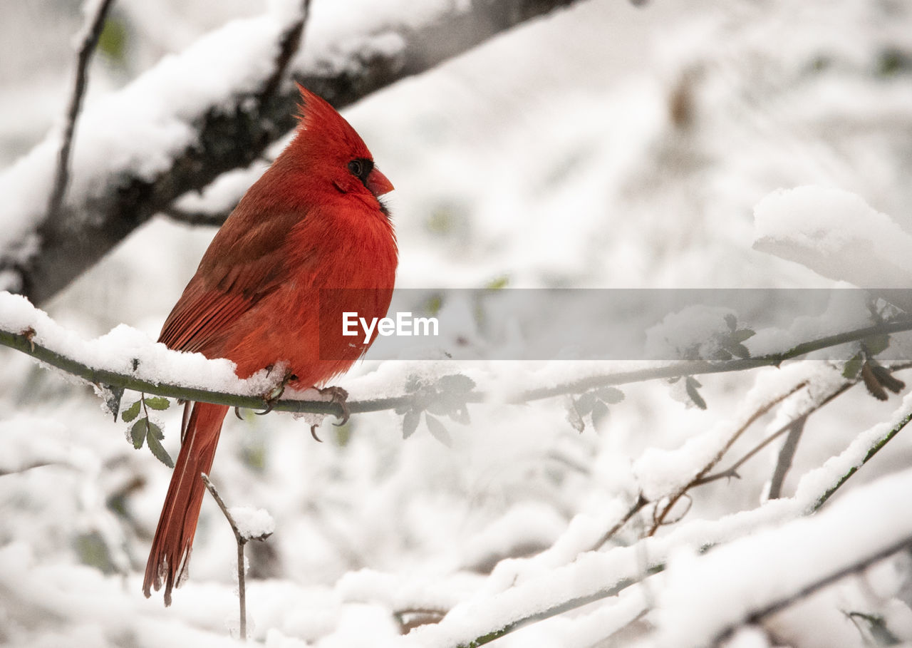 vertebrate, cardinal - bird, winter, bird, animal, animal themes, perching, red, snow, cold temperature, branch, animals in the wild, tree, animal wildlife, focus on foreground, one animal, no people, day, nature