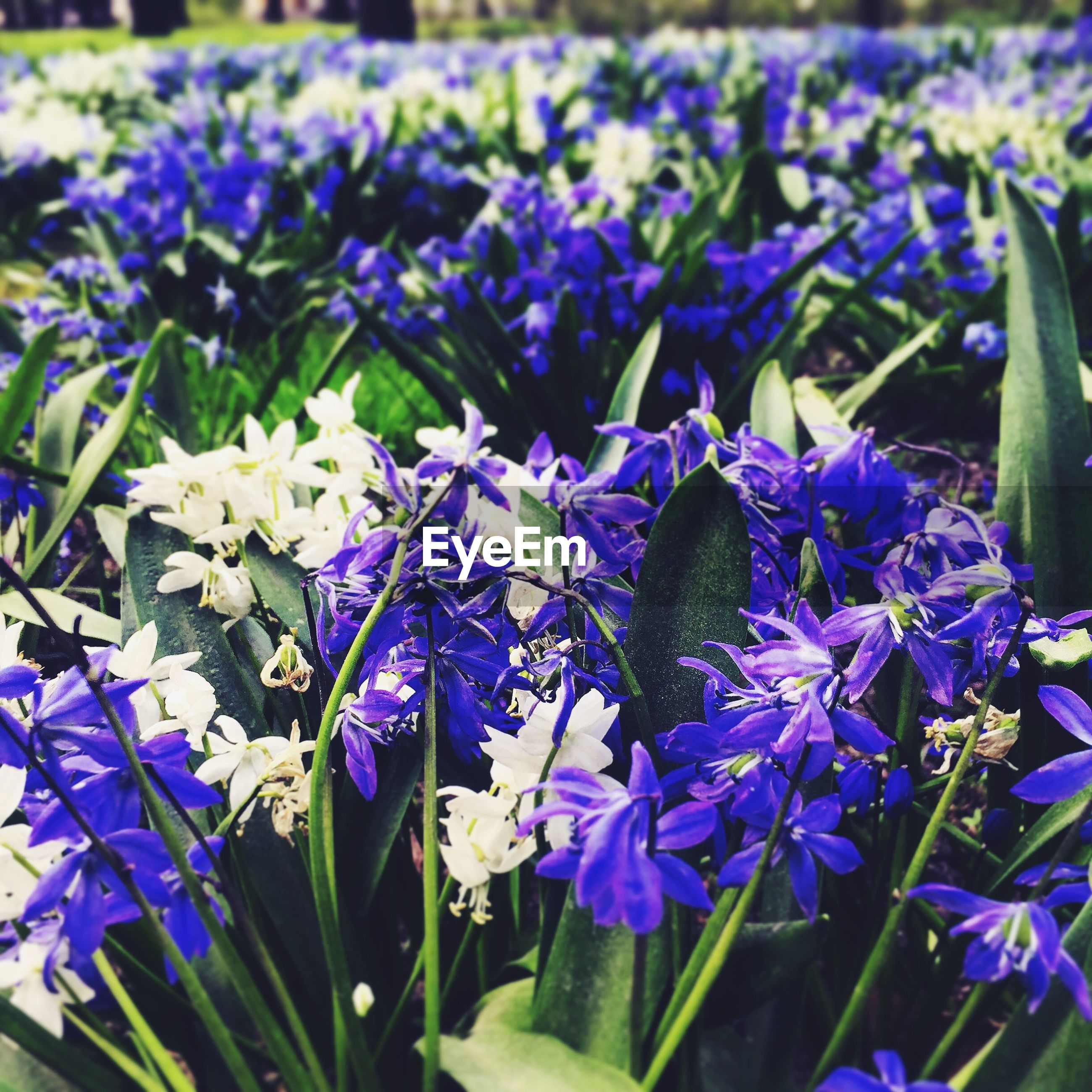flower, purple, freshness, growth, fragility, beauty in nature, plant, petal, nature, blooming, field, close-up, abundance, flower head, blue, focus on foreground, leaf, in bloom, day, high angle view