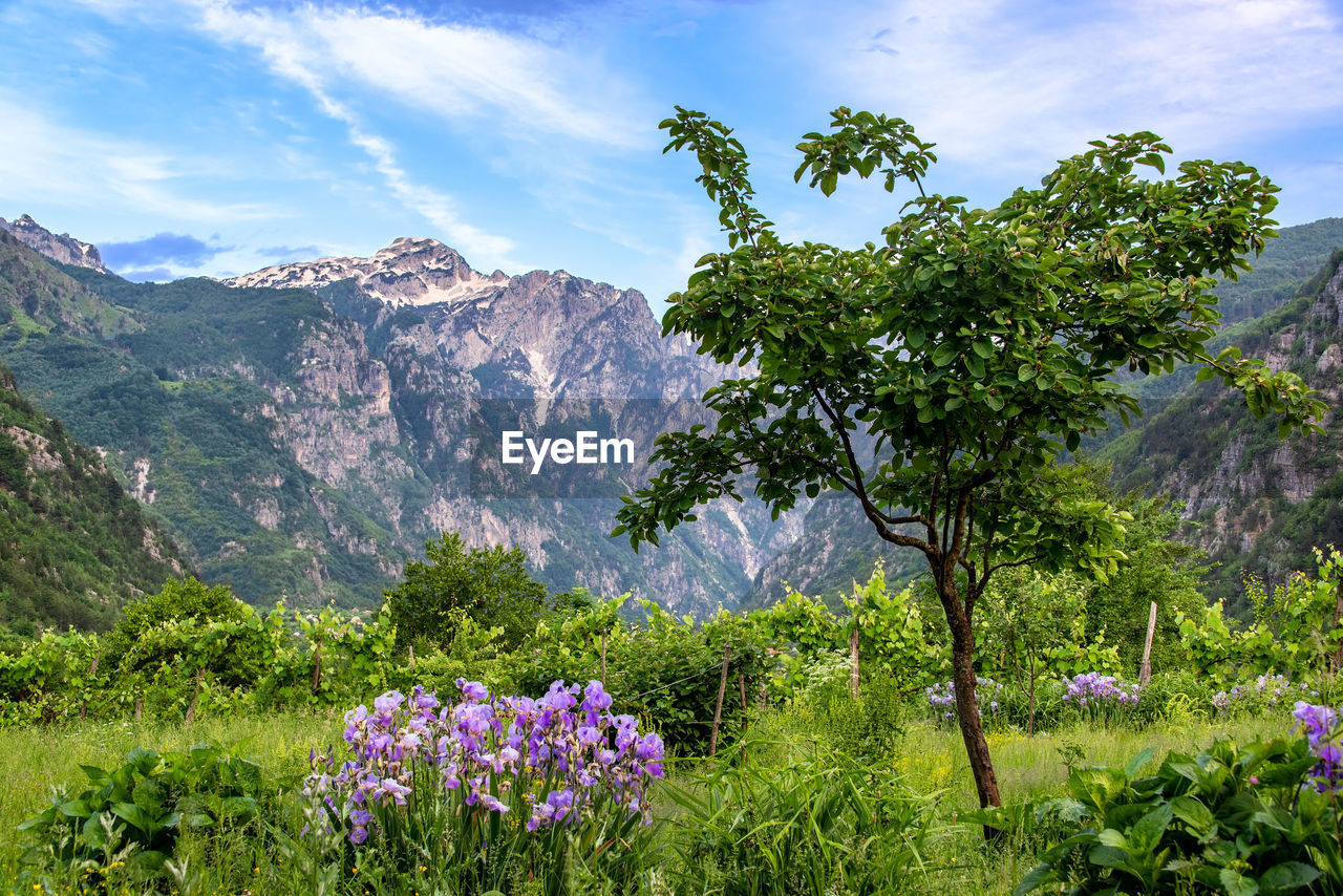 SCENIC VIEW OF PURPLE FLOWERING PLANTS AGAINST MOUNTAIN