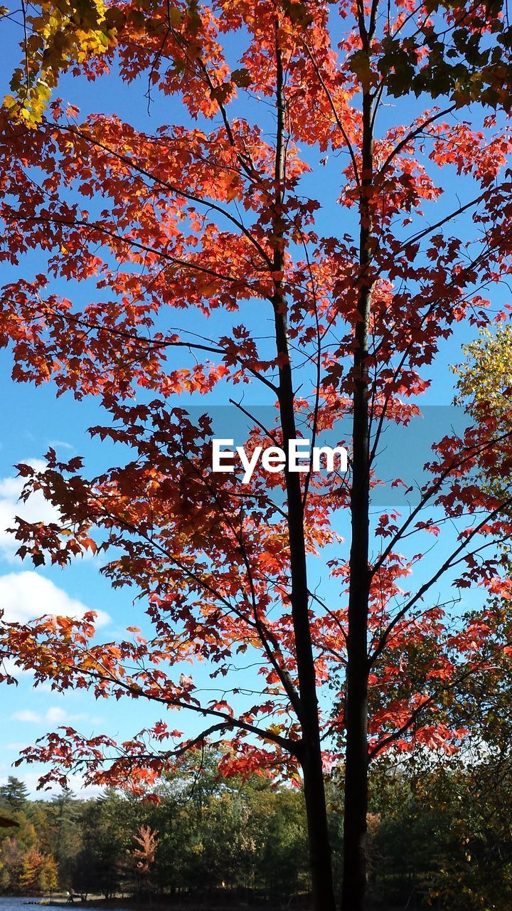 tree, autumn, nature, change, beauty in nature, low angle view, branch, growth, leaf, day, outdoors, tranquility, no people, maple tree, forest, scenics, sky, clear sky, freshness
