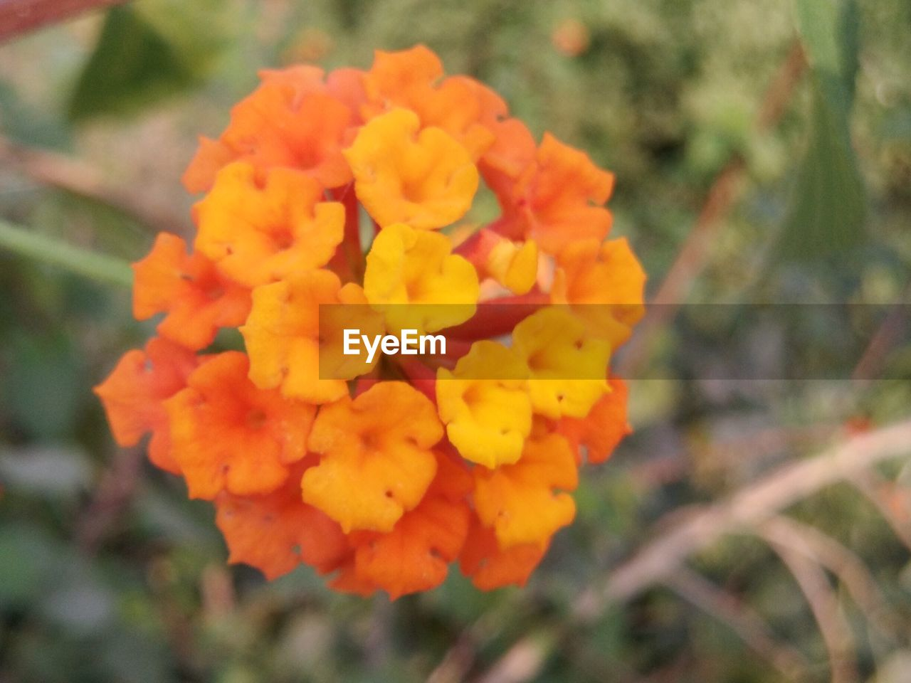 flower, fragility, freshness, growth, beauty in nature, nature, petal, orange color, outdoors, flower head, blooming, day, focus on foreground, plant, close-up, no people, lantana camara, marigold