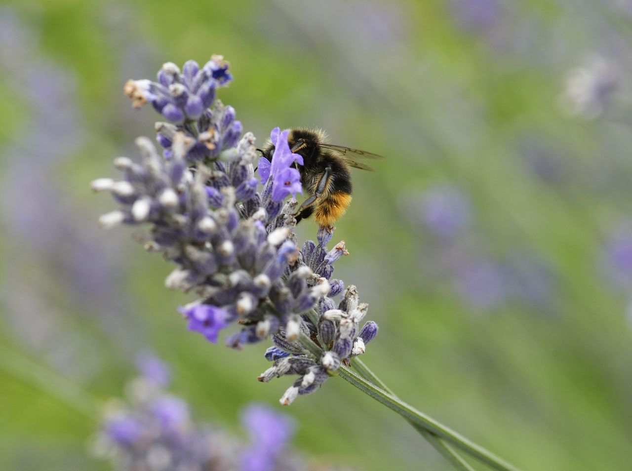 flower, flowering plant, animals in the wild, fragility, animal themes, invertebrate, one animal, insect, vulnerability, animal, animal wildlife, plant, beauty in nature, bee, growth, freshness, close-up, flower head, petal, purple, pollination, no people, lavender, bumblebee