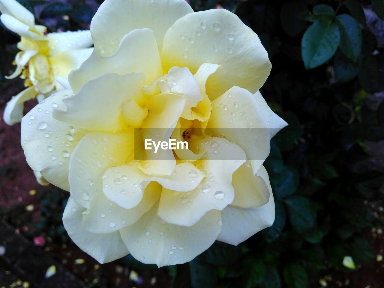 flower, petal, beauty in nature, nature, drop, freshness, fragility, wet, growth, flower head, water, no people, outdoors, close-up, plant, rose - flower, day, blooming, raindrop