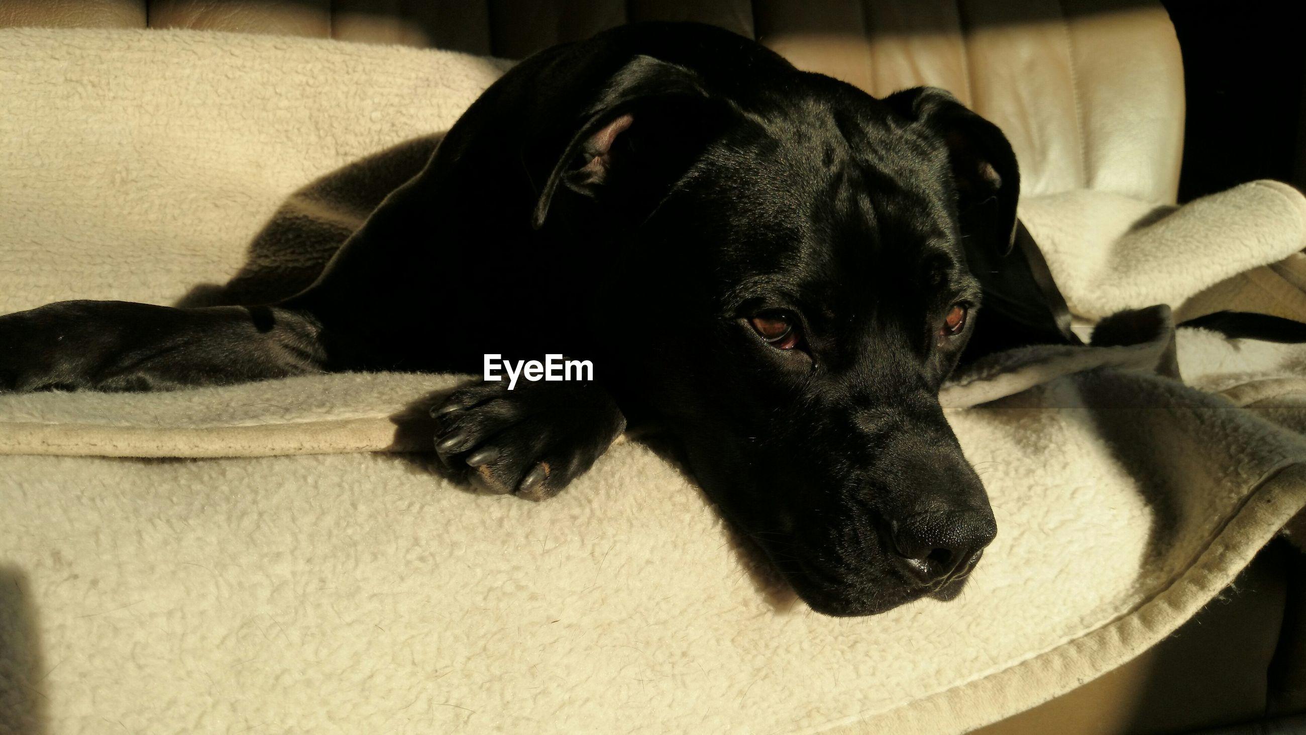 Low Angle View Of Black Dog Lying On Sofa
