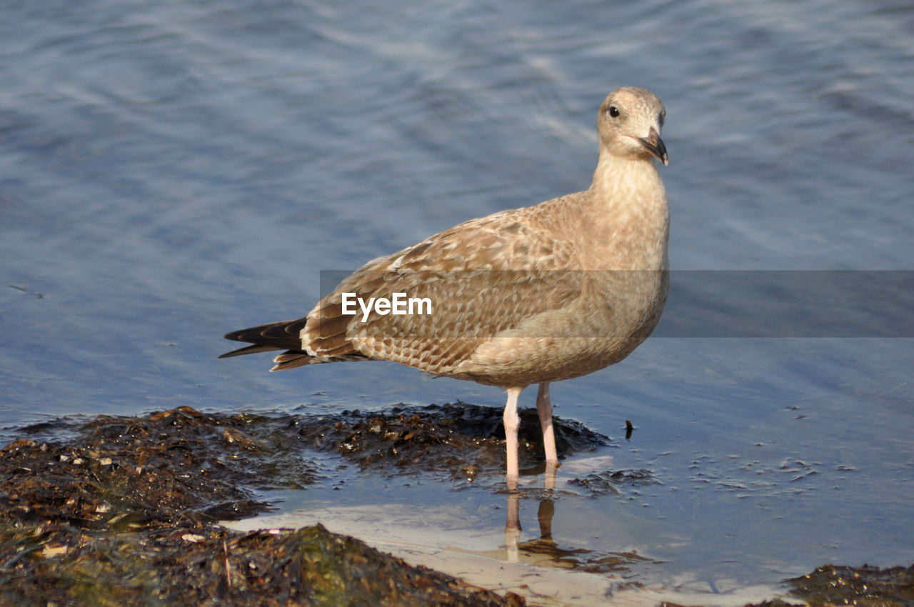 animal themes, animal, water, bird, vertebrate, animal wildlife, one animal, animals in the wild, no people, nature, lake, day, beach, perching, close-up, focus on foreground, zoology, outdoors, seagull, shallow