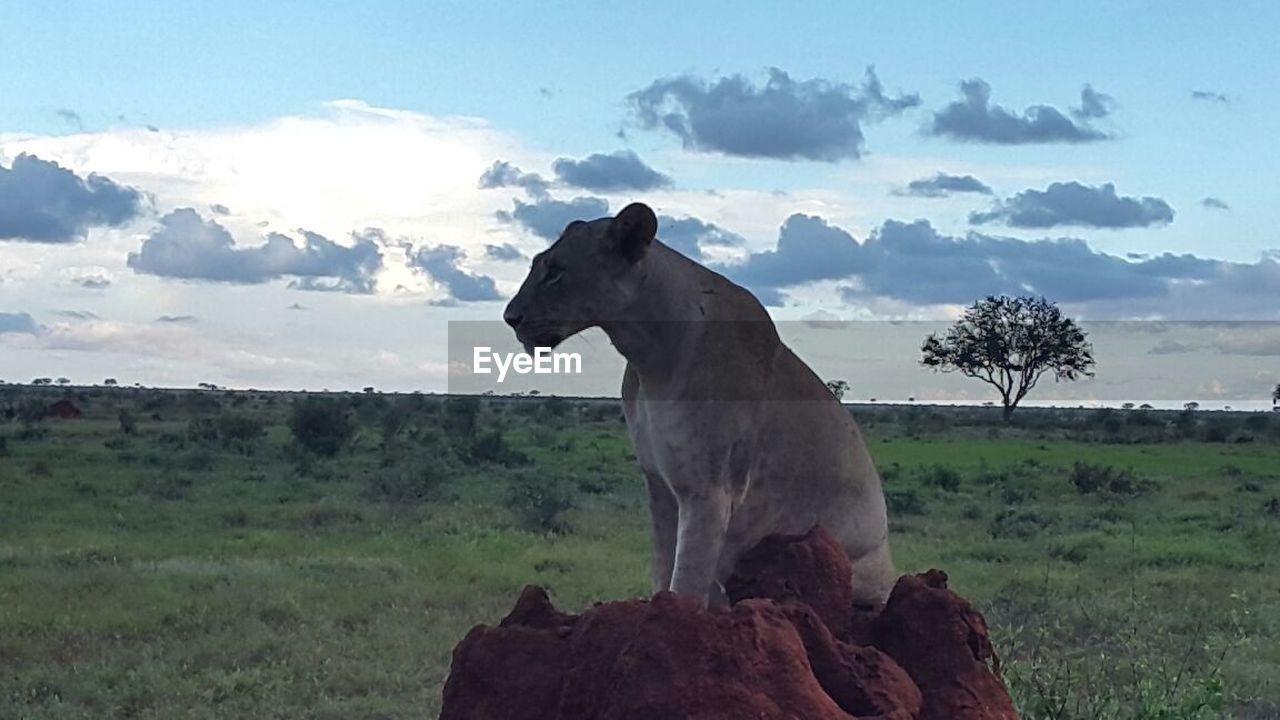 animal themes, sky, one animal, mammal, cloud - sky, domestic animals, field, nature, landscape, no people, outdoors, day, tree, animals in the wild, beauty in nature