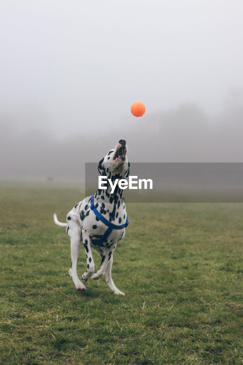 Dog Playing With Ball On Field
