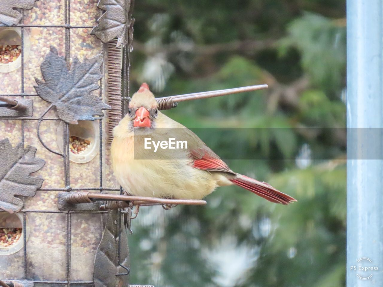 bird, vertebrate, animal themes, animal, animal wildlife, focus on foreground, animals in the wild, one animal, day, perching, no people, bird feeder, tree, nature, outdoors, close-up, plant, architecture, hanging, red