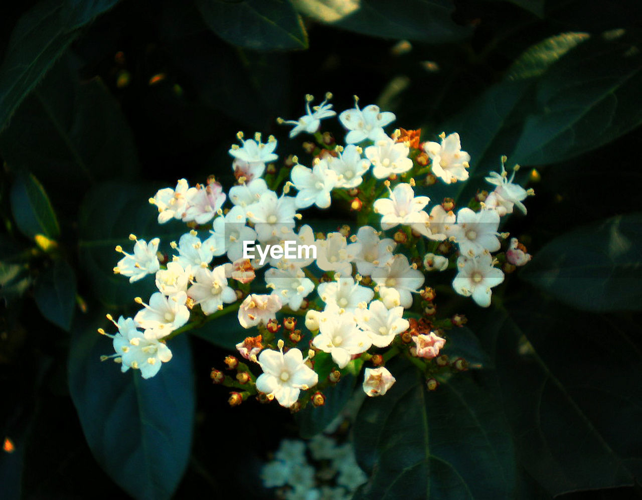 flowering plant, flower, plant, beauty in nature, freshness, growth, vulnerability, fragility, leaf, plant part, nature, close-up, day, petal, white color, inflorescence, flower head, outdoors, no people, focus on foreground, bunch of flowers, lantana