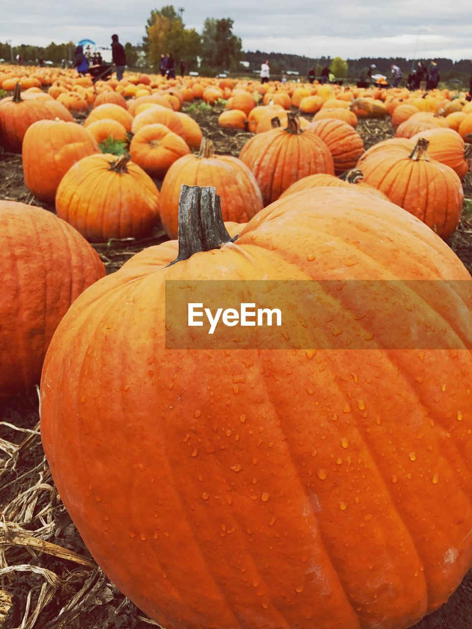 pumpkin, halloween, orange color, food and drink, vegetable, no people, food, day, field, abundance, outdoors, freshness, jack o lantern, healthy eating, close-up, nature