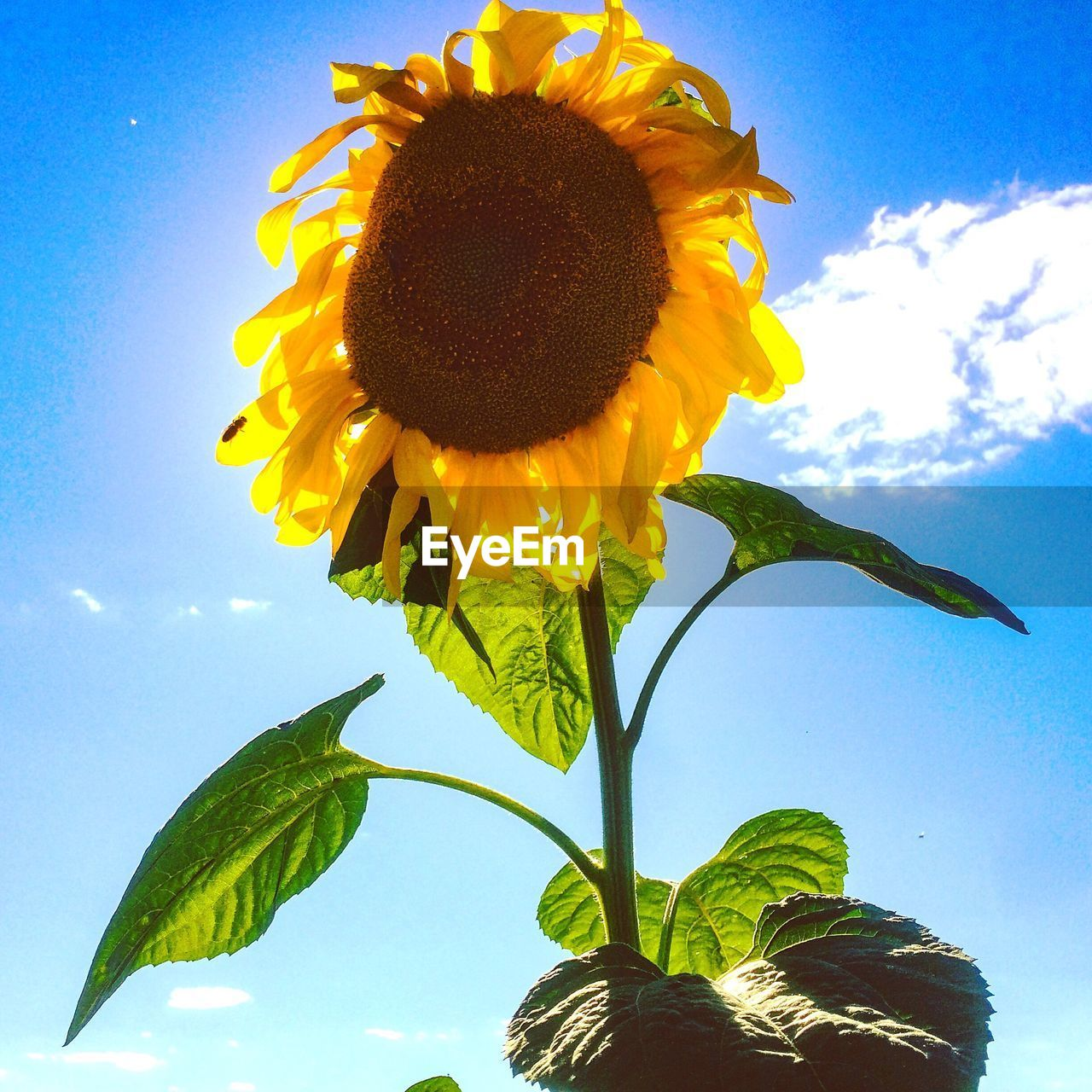 LOW ANGLE VIEW OF SUNFLOWERS AGAINST SKY