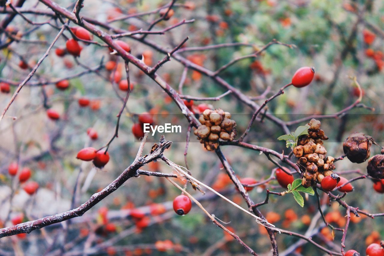 fruit, food and drink, tree, rose hip, red, focus on foreground, growing, outdoors, nature, rowanberry, growth, day, food, no people, plant, freshness, branch, close-up, beauty in nature