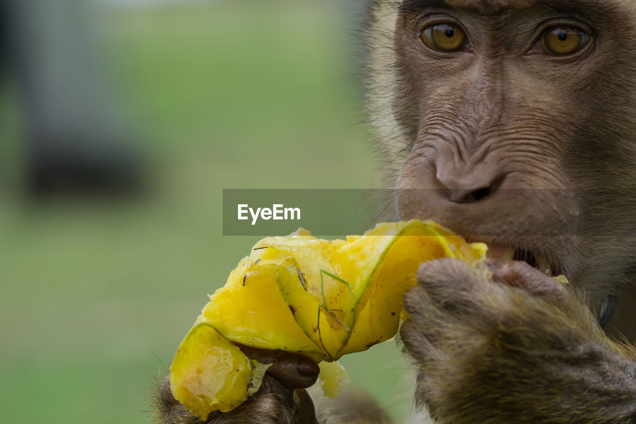 Close-Up Of Monkey Eating Fruit