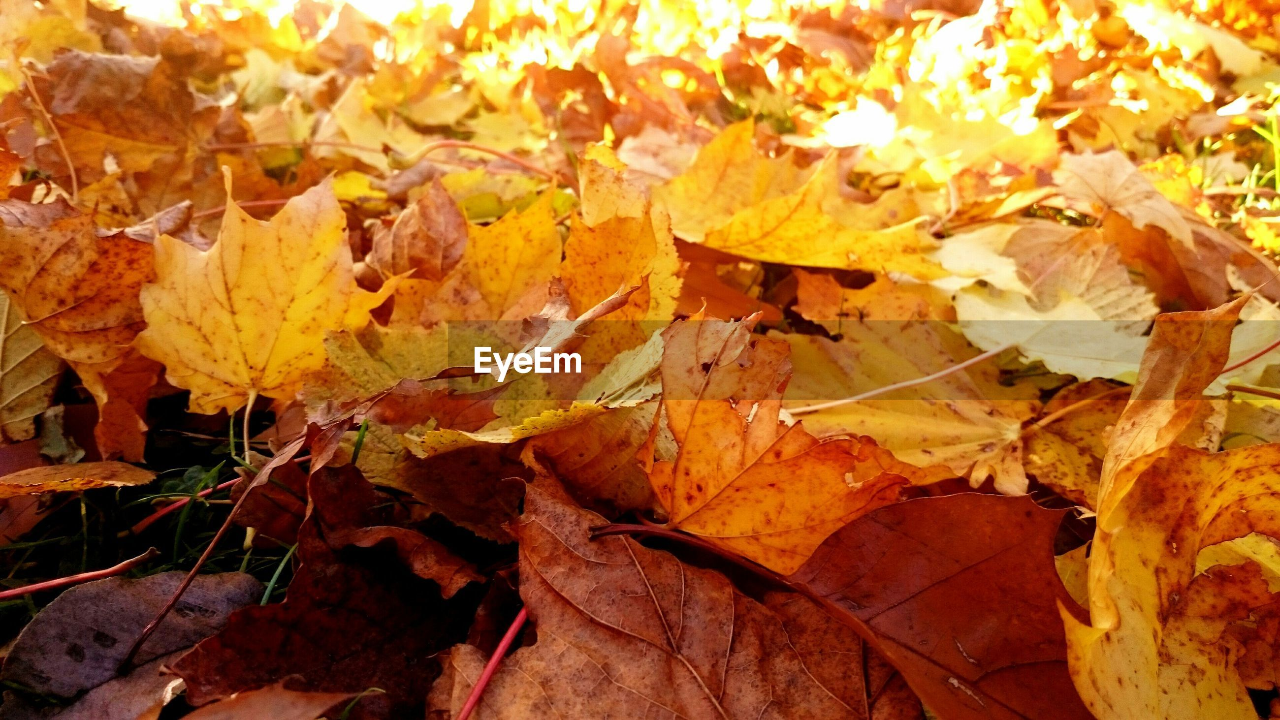 autumn, leaf, change, leaves, season, dry, yellow, fallen, orange color, full frame, nature, close-up, backgrounds, maple leaf, leaf vein, falling, natural pattern, day, outdoors, sunlight