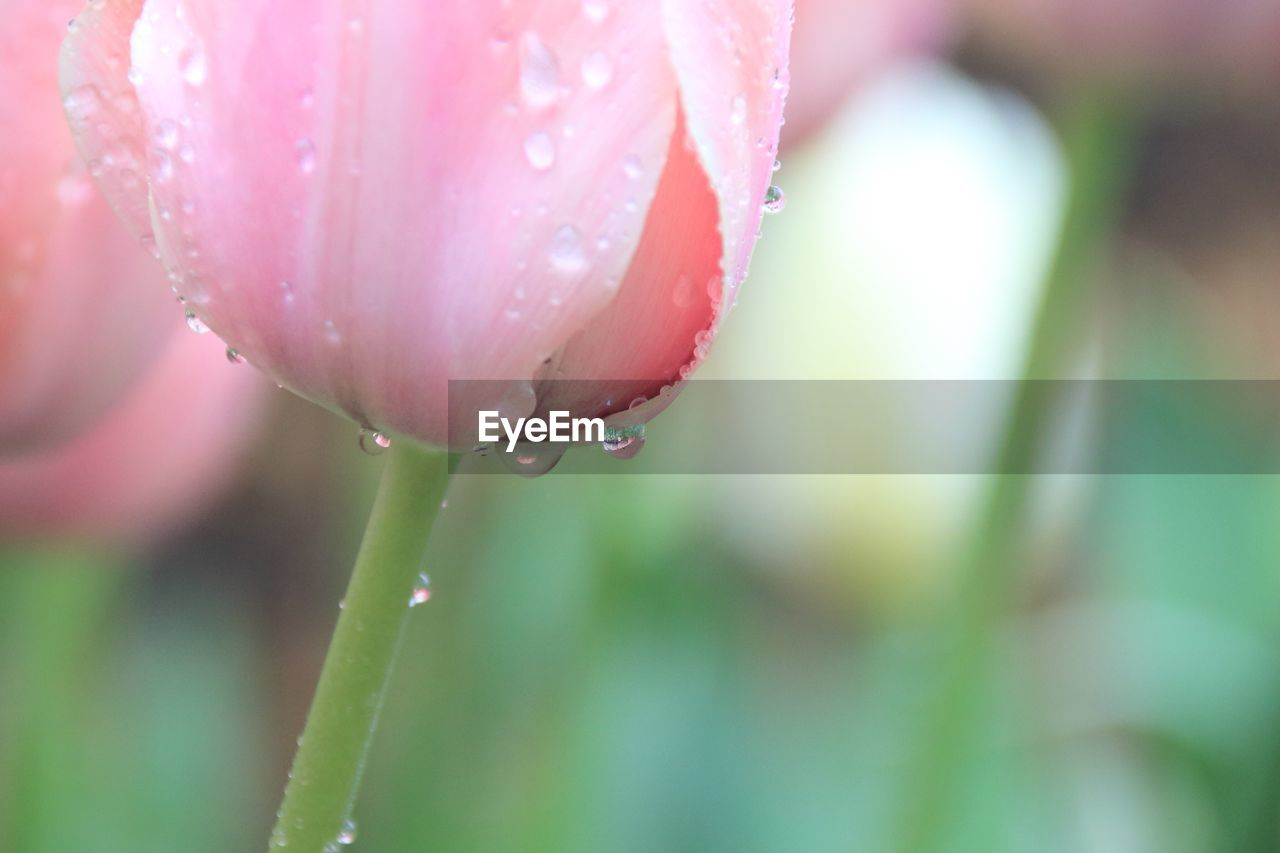 drop, water, nature, wet, beauty in nature, growth, fragility, freshness, raindrop, flower, close-up, plant, droplet, purity, selective focus, day, no people, outdoors, petal, focus on foreground, pink color