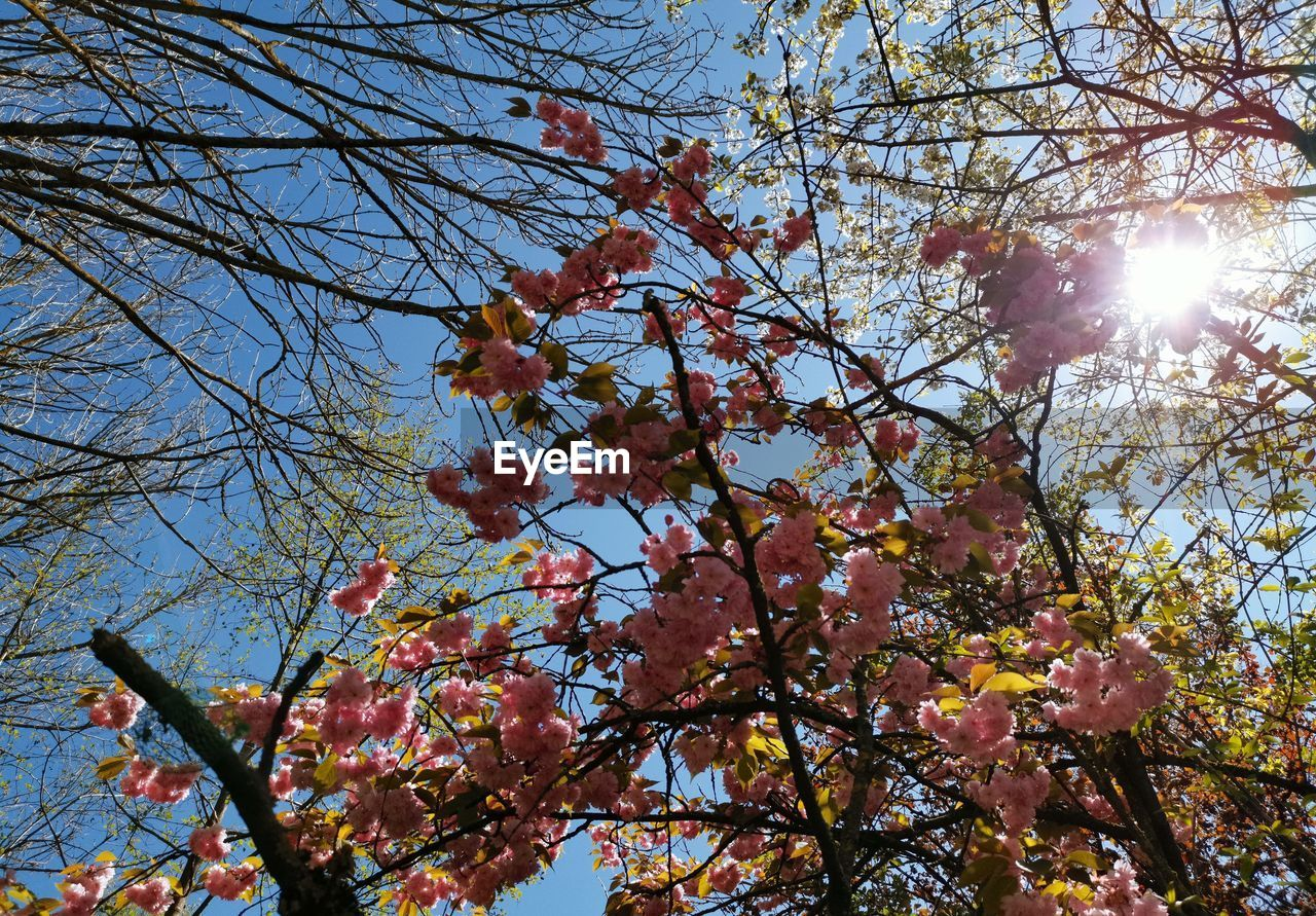 tree, low angle view, plant, branch, flowering plant, sky, flower, blossom, sunlight, beauty in nature, growth, fragility, nature, springtime, vulnerability, day, sun, sunbeam, no people, freshness, lens flare, outdoors, cherry blossom, bright, cherry tree, spring