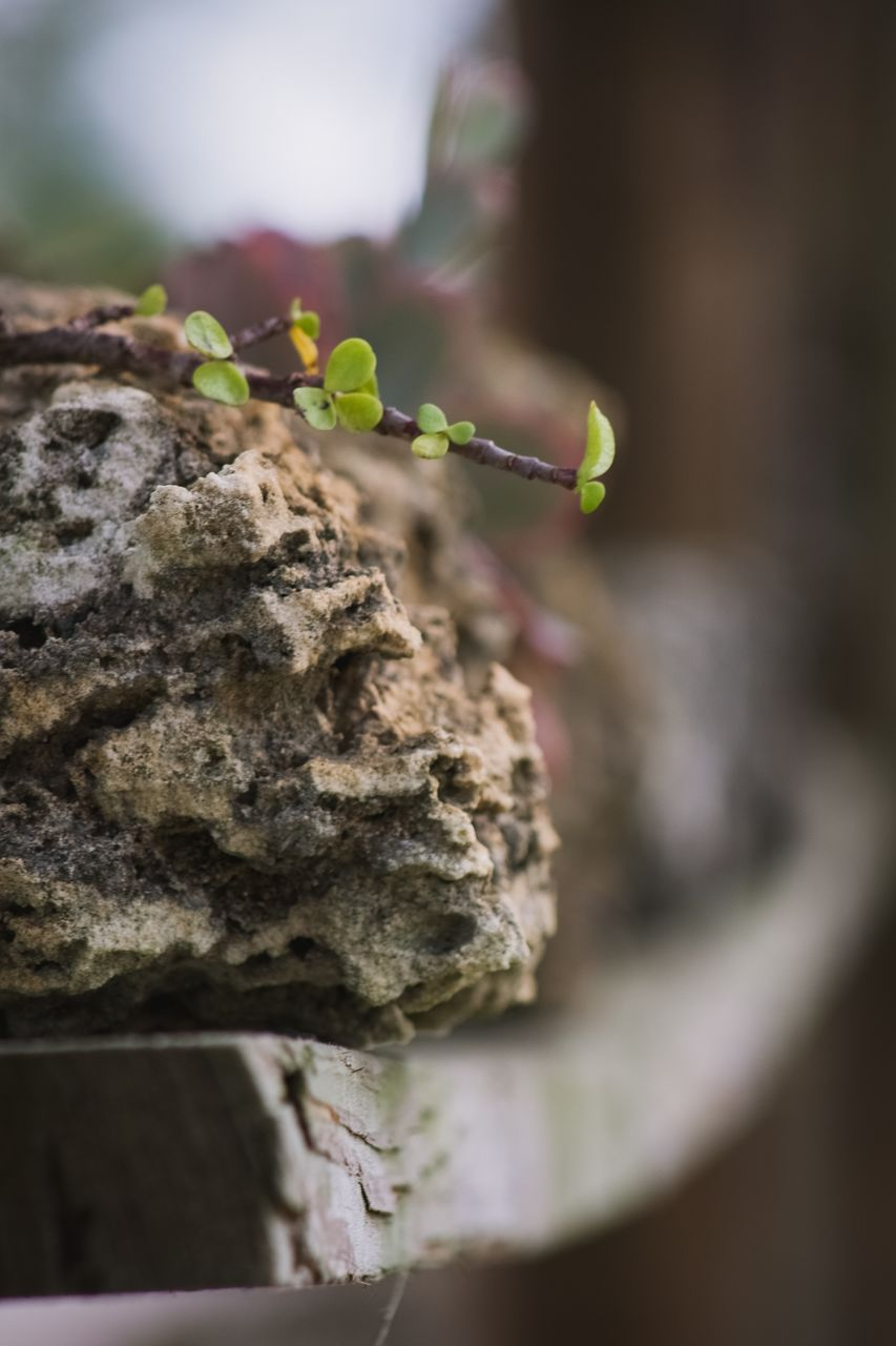 selective focus, close-up, plant, no people, focus on foreground, growth, rock, day, nature, solid, rock - object, moss, outdoors, leaf, plant part, beauty in nature, wood - material, food and drink, beginnings, freshness, small, lichen, care