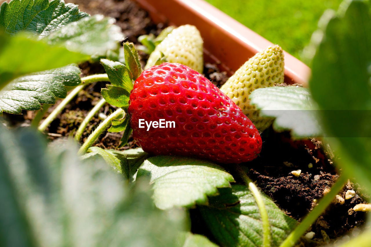 CLOSE-UP OF STRAWBERRIES AND PLANT