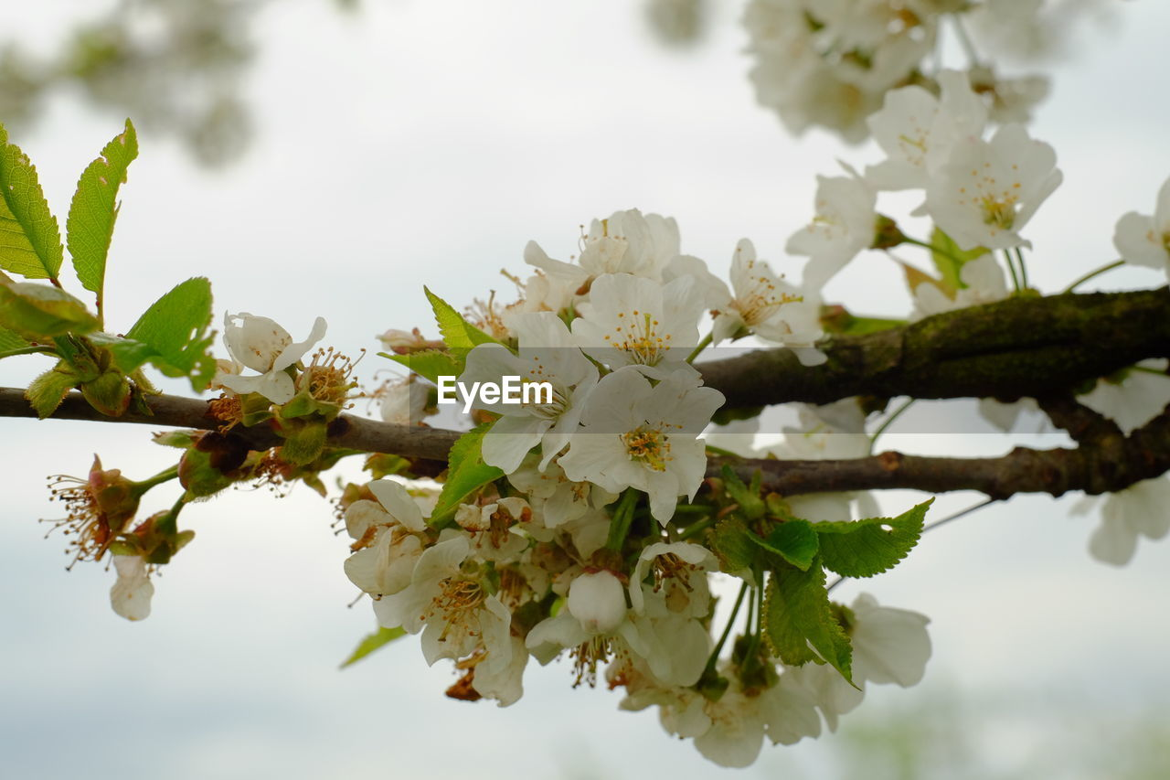 flower, fragility, beauty in nature, blossom, apple blossom, tree, freshness, nature, cherry blossom, white color, growth, apple tree, branch, springtime, orchard, botany, cherry tree, petal, twig, no people, day, flower head, close-up, stamen, outdoors, blooming, leaf, sky, plum blossom