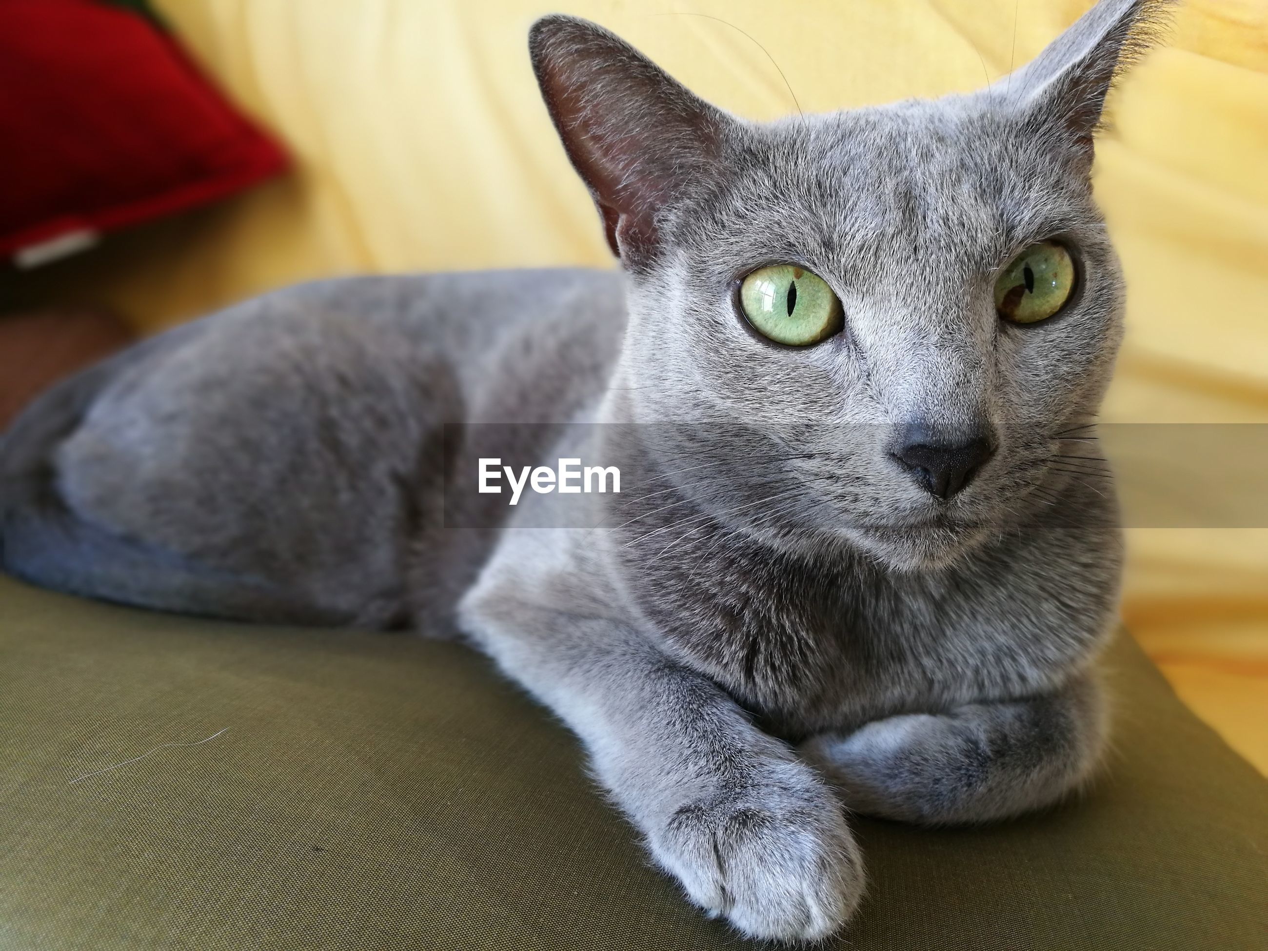 domestic cat, pets, domestic animals, one animal, mammal, feline, close-up, looking at camera, animal themes, cat, indoors, portrait, no people, yellow eyes, day