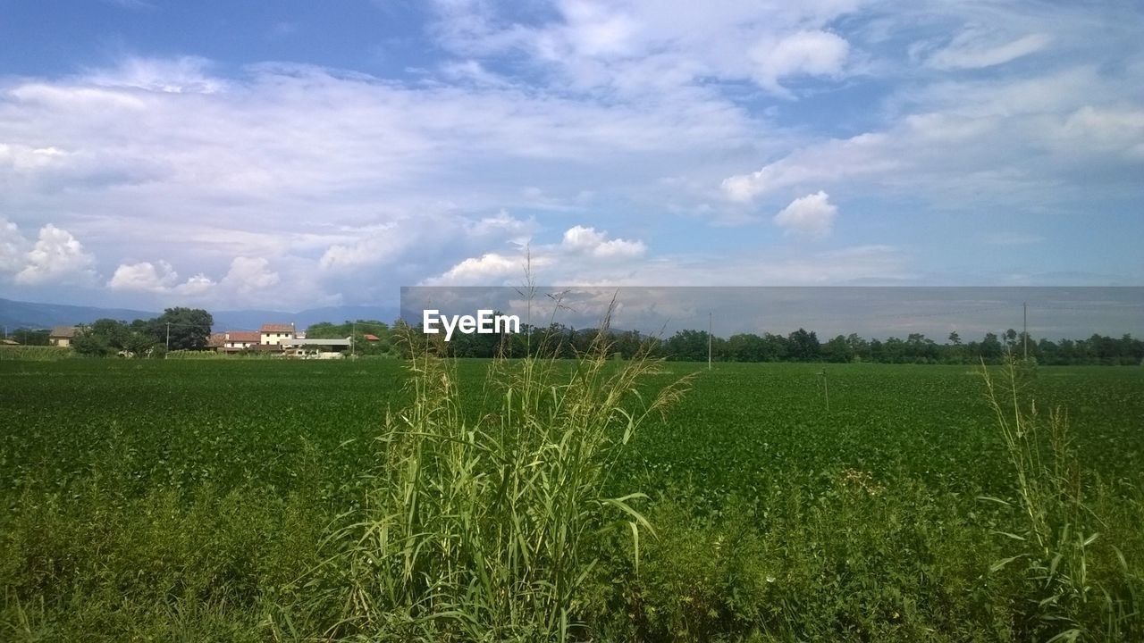 agriculture, field, landscape, farm, crop, sky, nature, growth, tranquility, grass, rural scene, tranquil scene, beauty in nature, no people, scenics, outdoors, cereal plant, wheat, day, tree