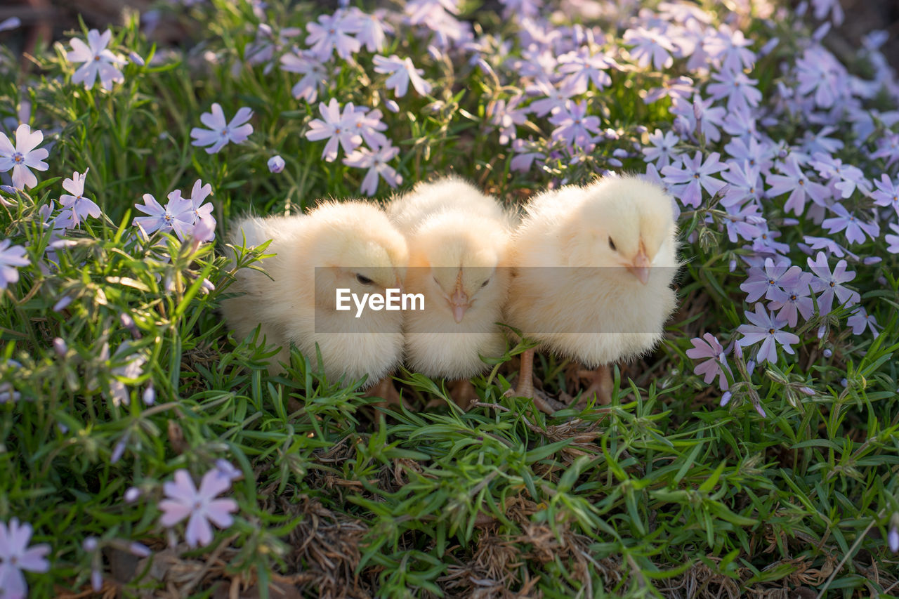 Close-Up Of Baby Chickens Perching On Field