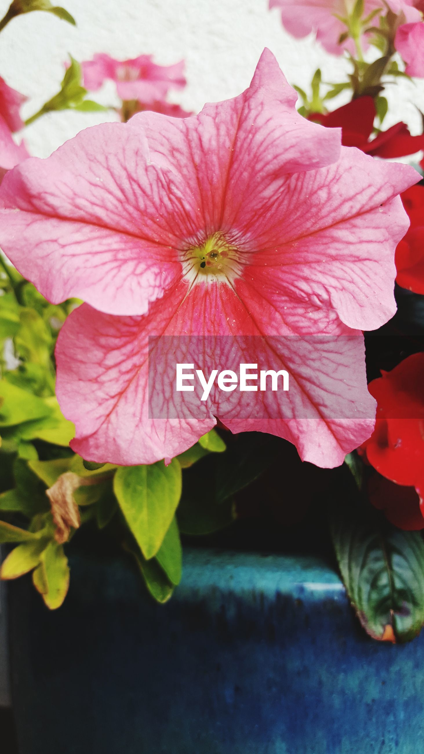 Close-up of petunia flower growing in pot