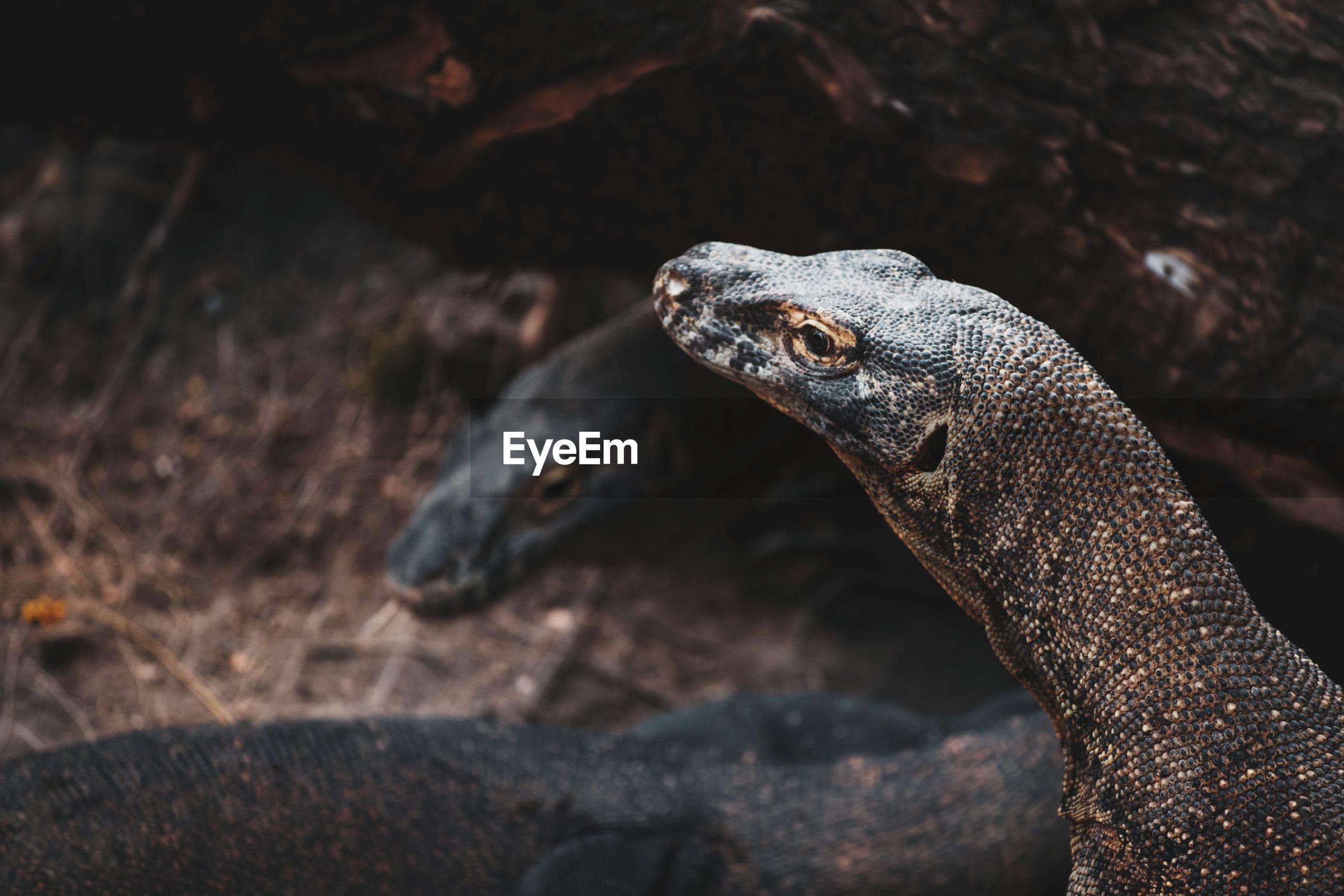 Close-up of komodo dragon on rock