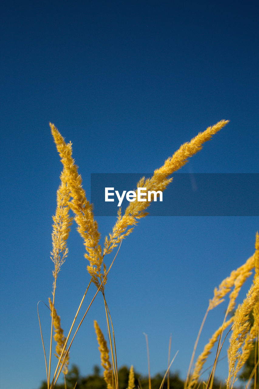 sky, plant, blue, growth, nature, yellow, beauty in nature, low angle view, clear sky, day, no people, copy space, tranquility, close-up, outdoors, sunlight, crop, focus on foreground, freshness, agriculture, stalk