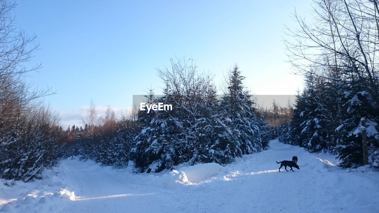 snow, winter, cold temperature, tree, nature, bare tree, weather, mammal, day, animal themes, one animal, scenics, outdoors, real people, domestic animals, beauty in nature, field, tranquil scene, dog, tranquility, leisure activity, one person, clear sky, pets, landscape, sky, adventure, people