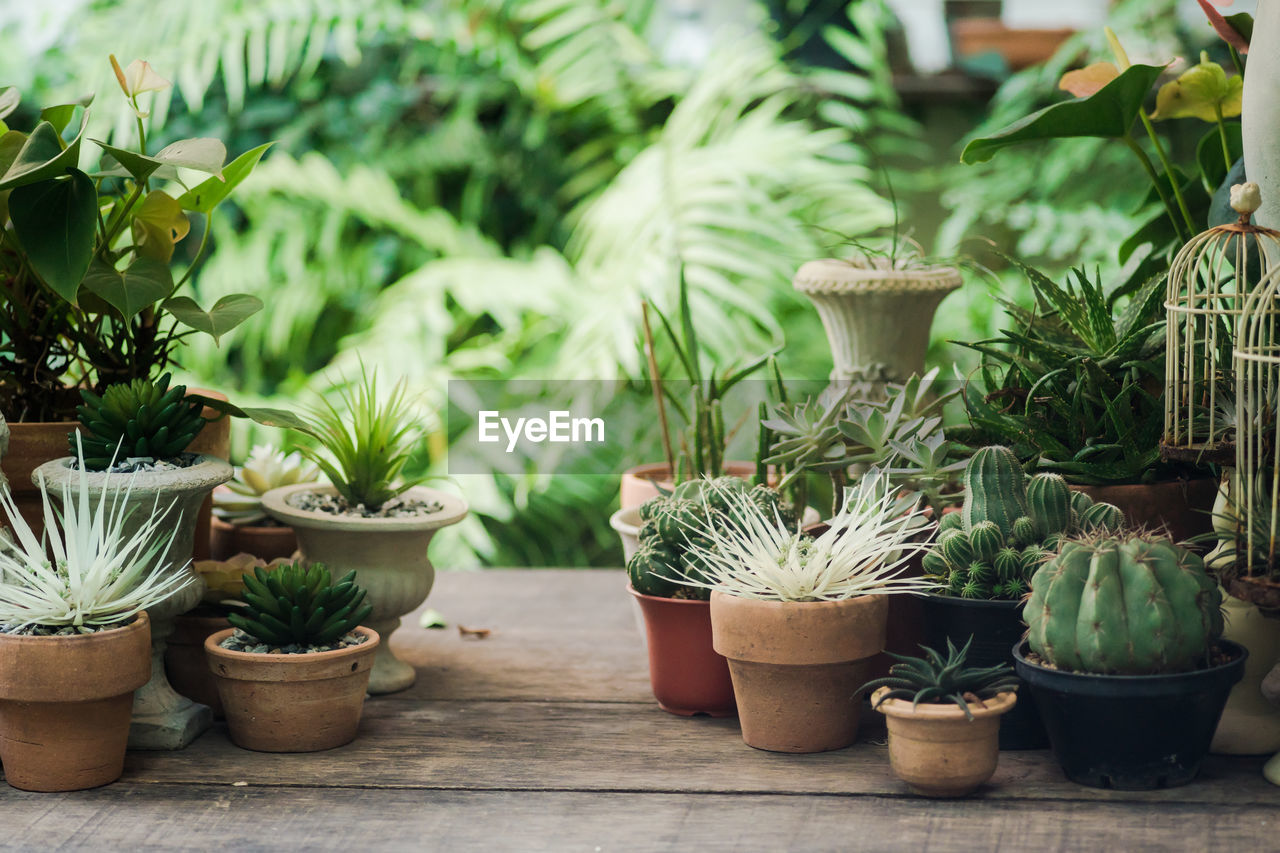 potted plant, growth, plant, succulent plant, cactus, no people, green color, nature, day, front or back yard, beauty in nature, outdoors, flower pot, focus on foreground, botany, close-up, freshness, table, choice, houseplant, gardening