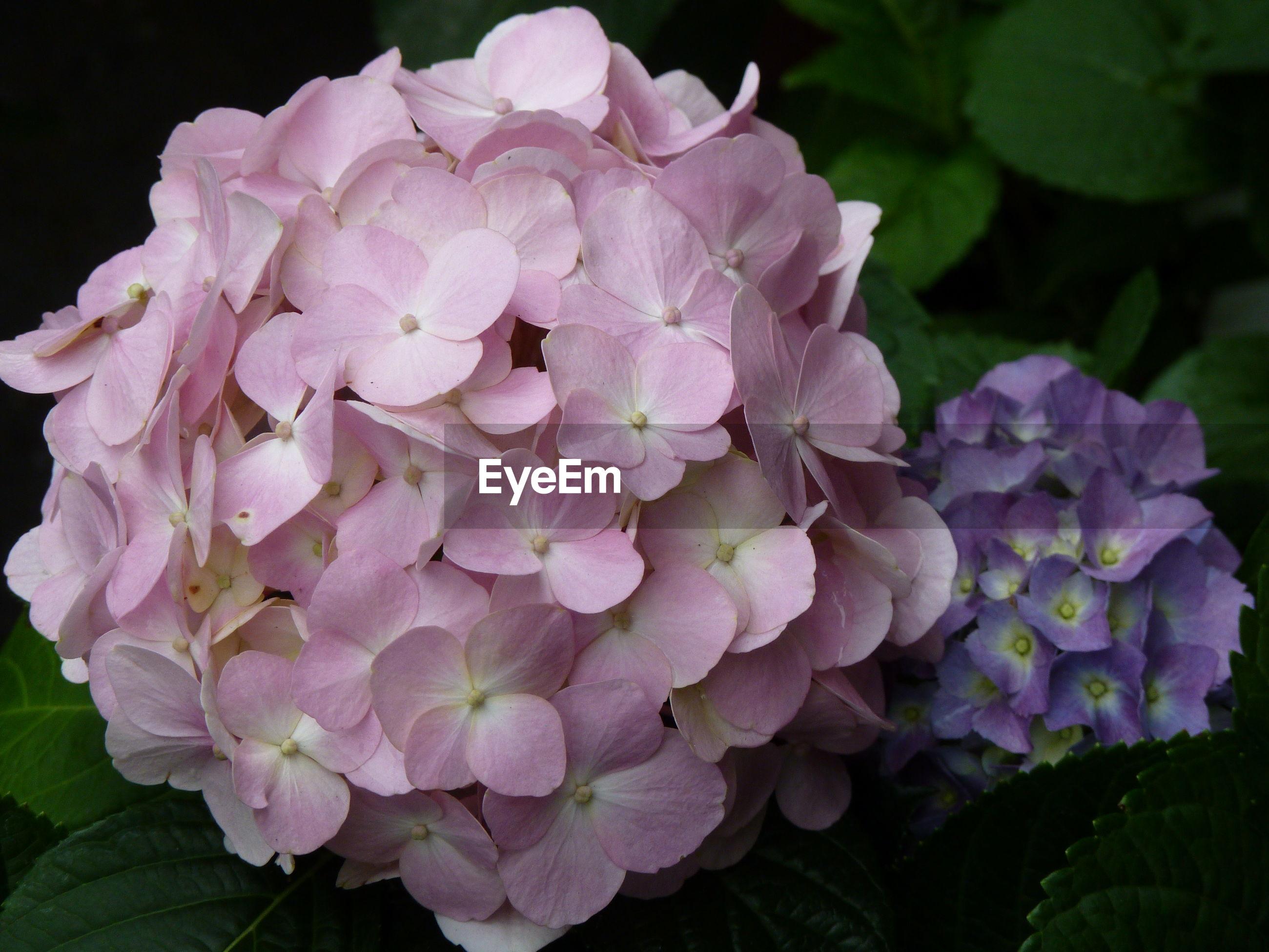 CLOSE-UP OF PINK HYDRANGEA PURPLE FLOWERS