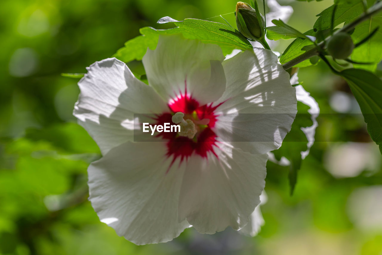 flowering plant, flower, plant, vulnerability, fragility, beauty in nature, freshness, petal, growth, inflorescence, flower head, close-up, hibiscus, nature, focus on foreground, day, pollen, white color, no people