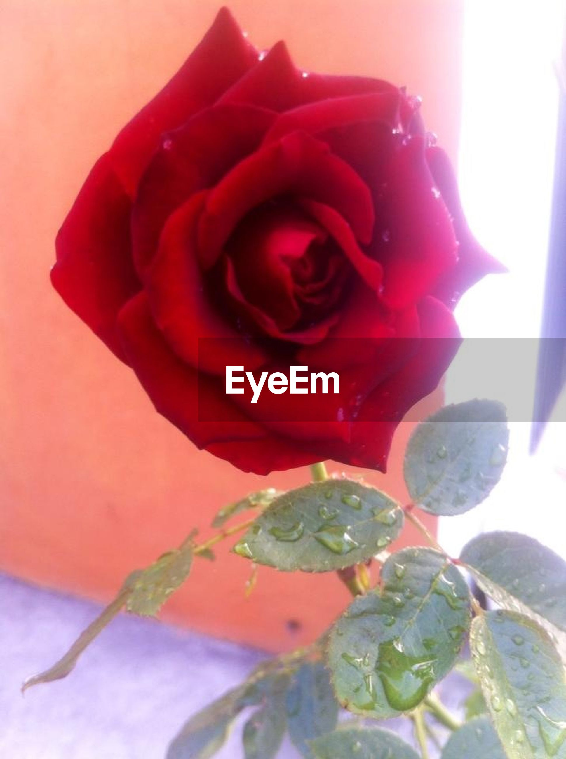flower, petal, fragility, freshness, rose - flower, flower head, growth, close-up, beauty in nature, plant, leaf, red, nature, blooming, focus on foreground, sunlight, single flower, rose, in bloom, stem