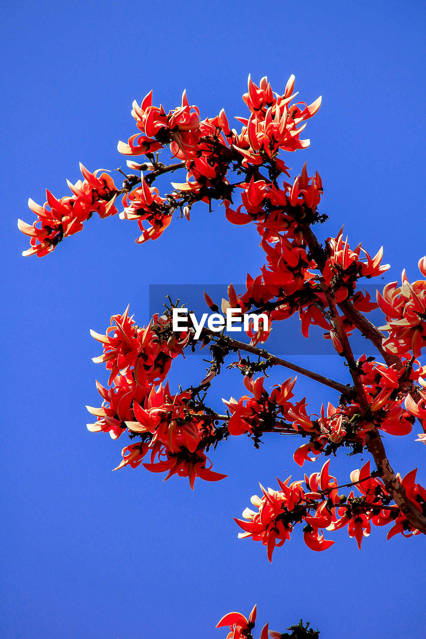 LOW ANGLE VIEW OF RED MAPLE TREE AGAINST CLEAR BLUE SKY