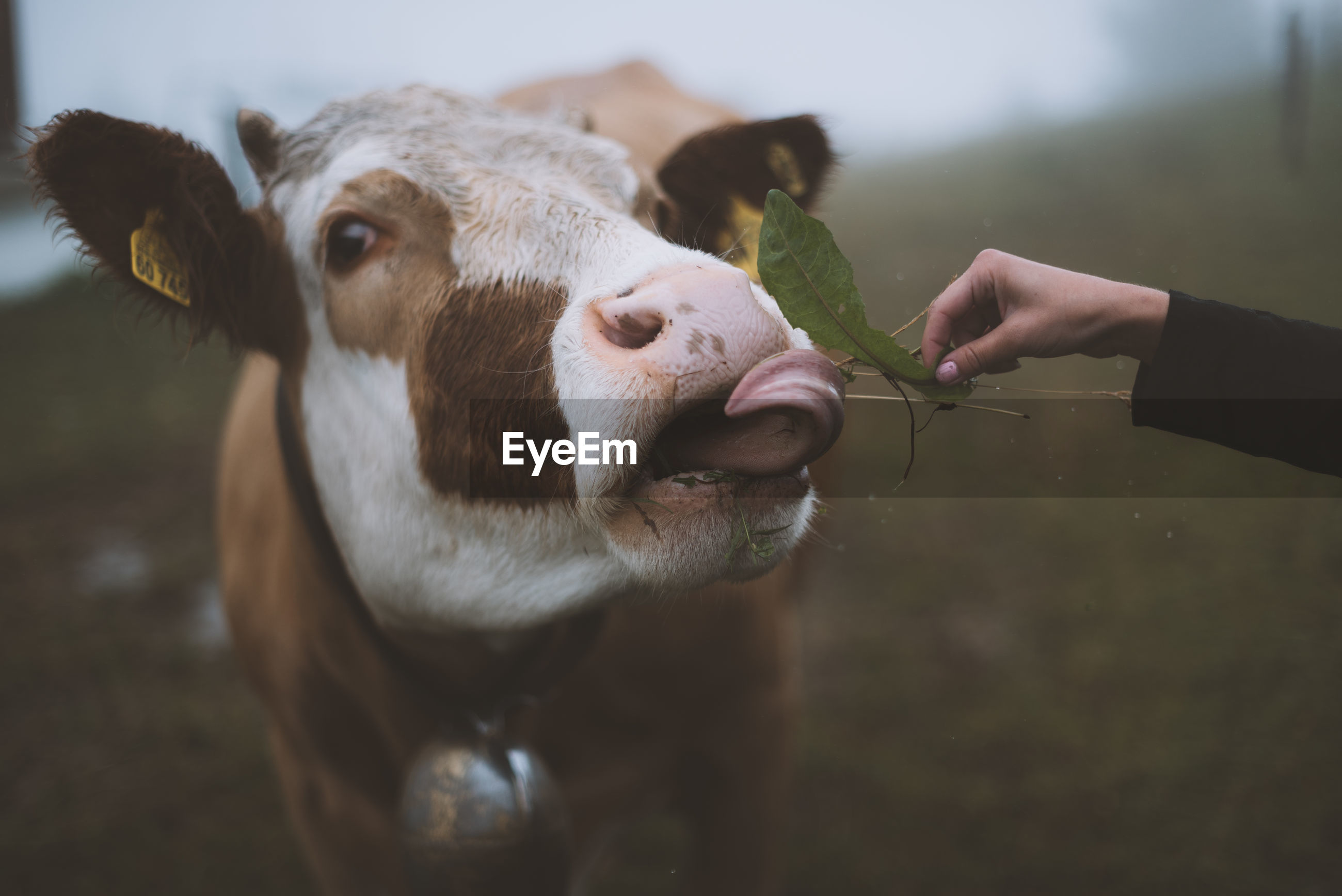 Cropped image of hand feeding cow