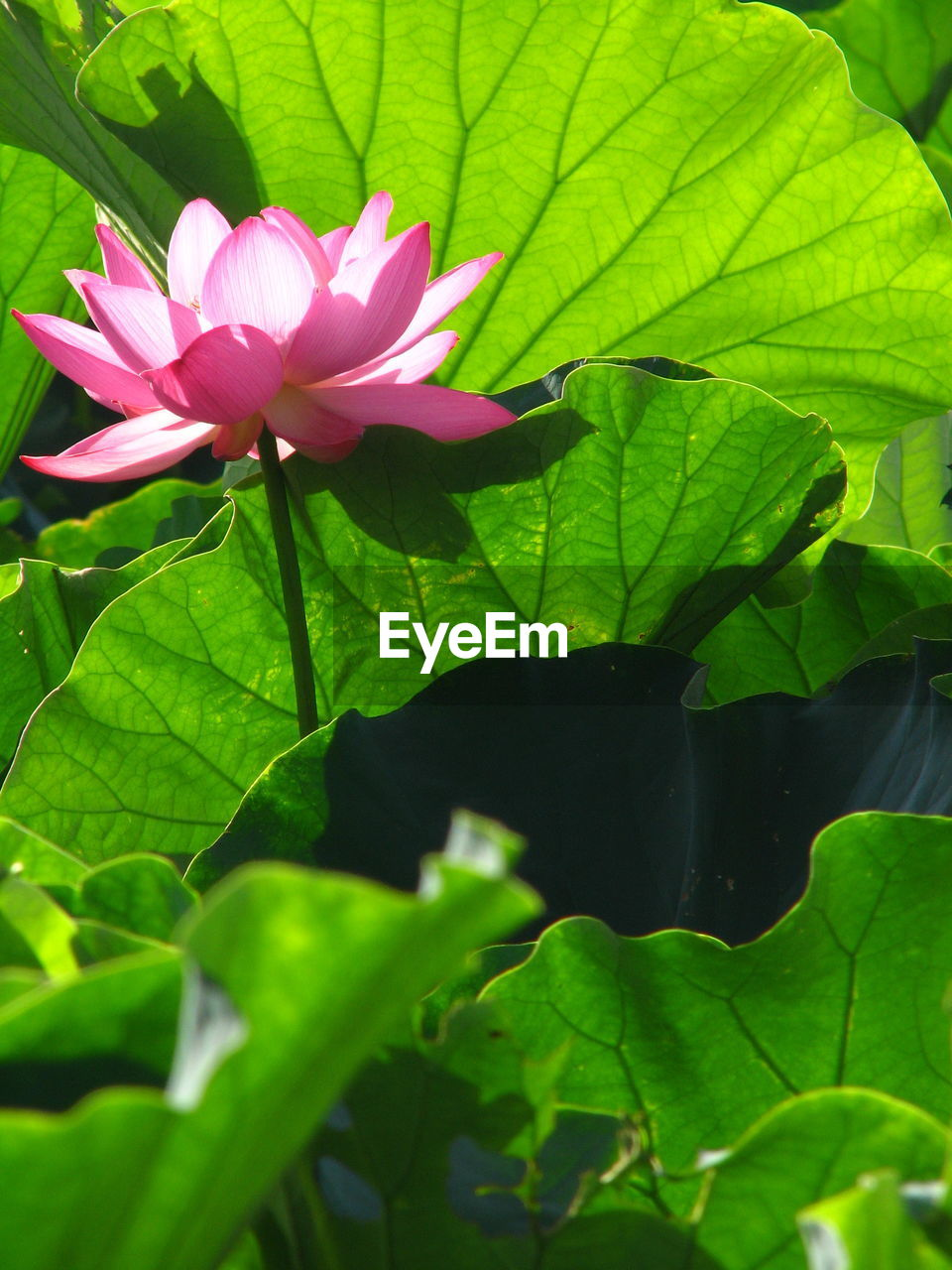 leaf, flower, growth, fragility, beauty in nature, nature, green color, petal, freshness, plant, flower head, no people, close-up, pink color, blooming, outdoors, day, lotus water lily