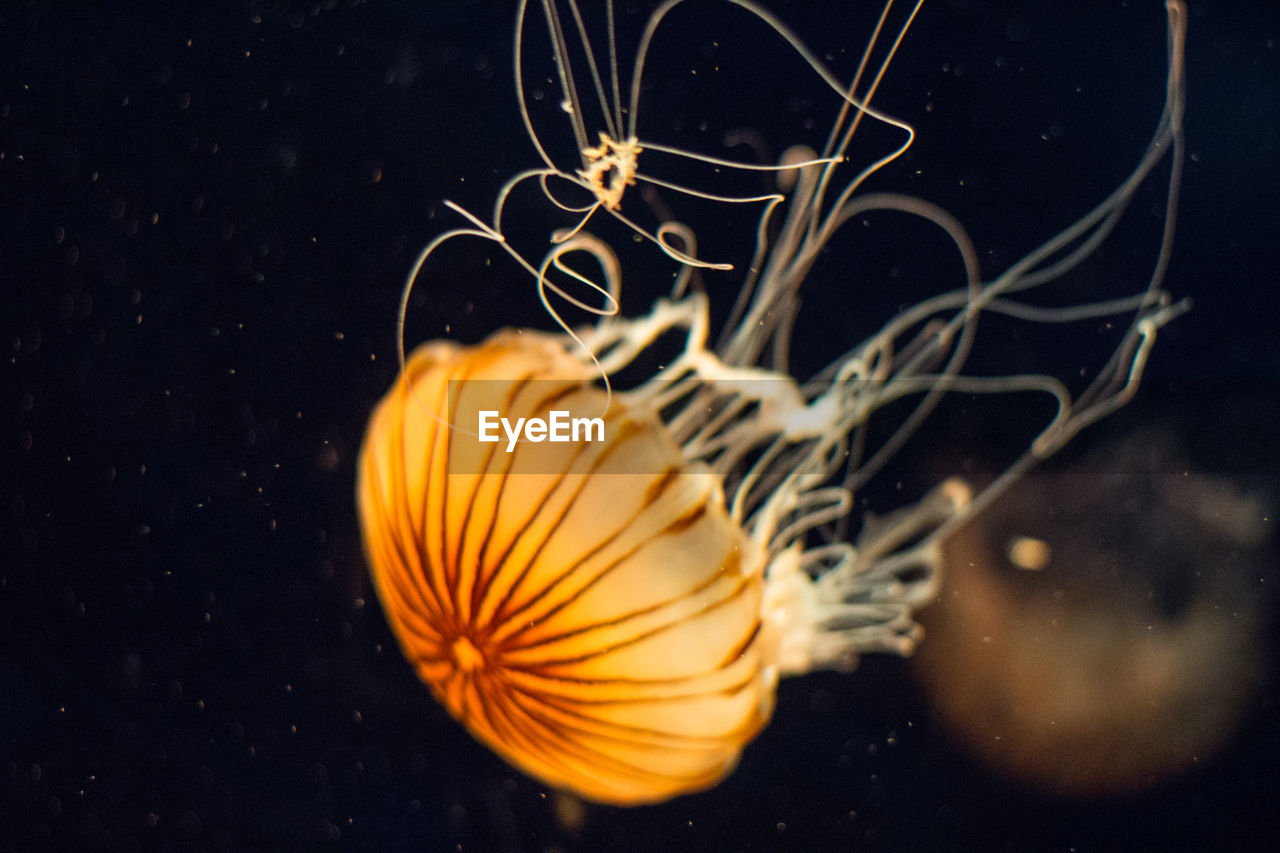 sea life, jellyfish, close-up, studio shot, smooth, swimming, underwater, no people, yellow, floating in water, black background, water, indoors, undersea, animal themes
