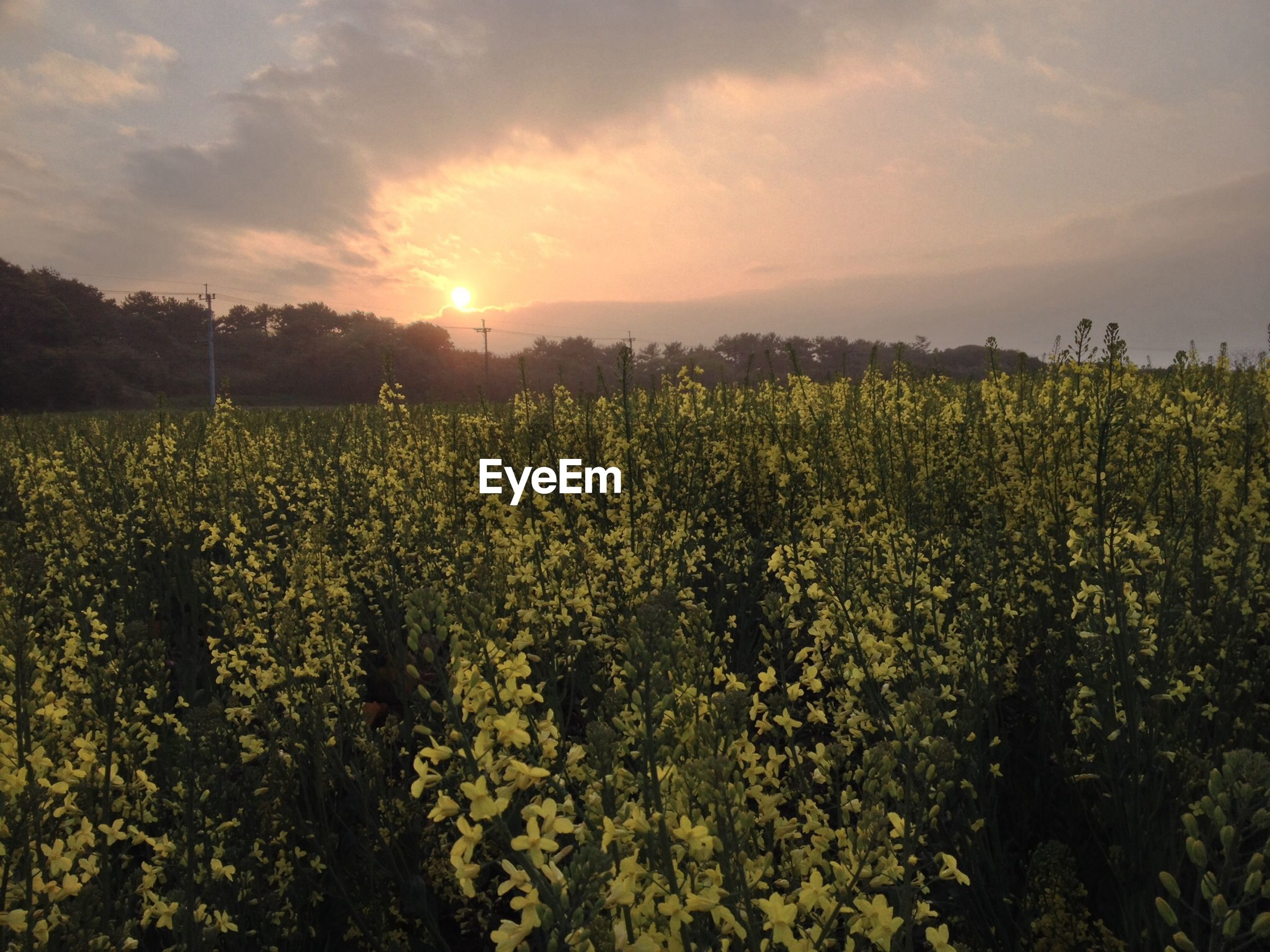 growth, beauty in nature, field, flower, sky, rural scene, nature, agriculture, tranquil scene, landscape, sunset, tranquility, scenics, plant, yellow, freshness, farm, cloud - sky, sunlight, crop