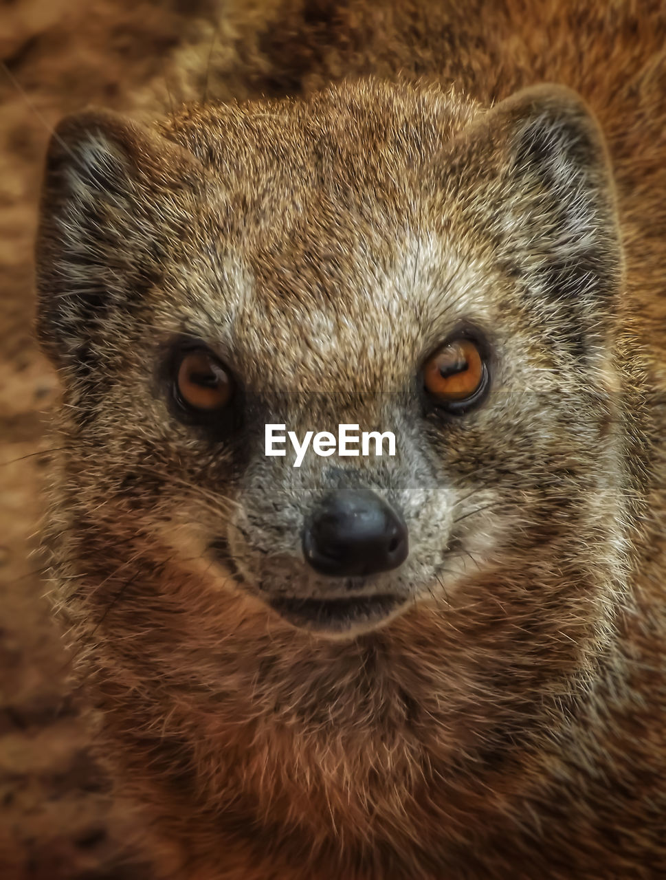 one animal, animal wildlife, animals in the wild, close-up, mammal, animal body part, portrait, looking at camera, vertebrate, no people, focus on foreground, day, front view, outdoors, looking, whisker, animal eye, snout