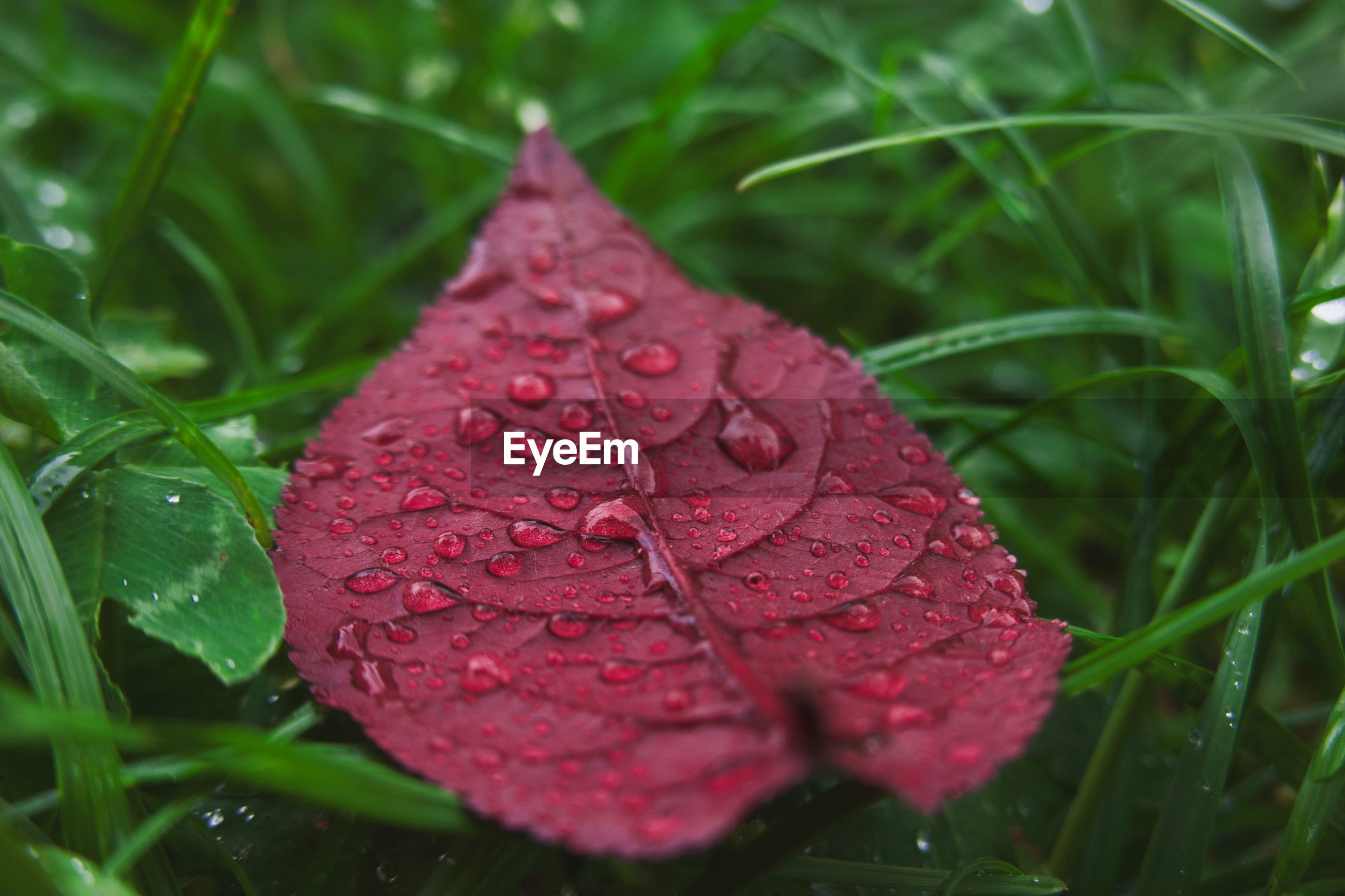 Close-up of raindrops on red leaves