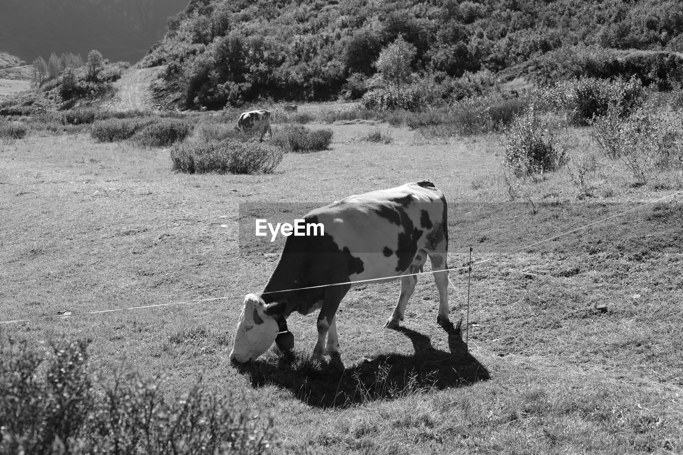 VIEW OF COW GRAZING IN FIELD