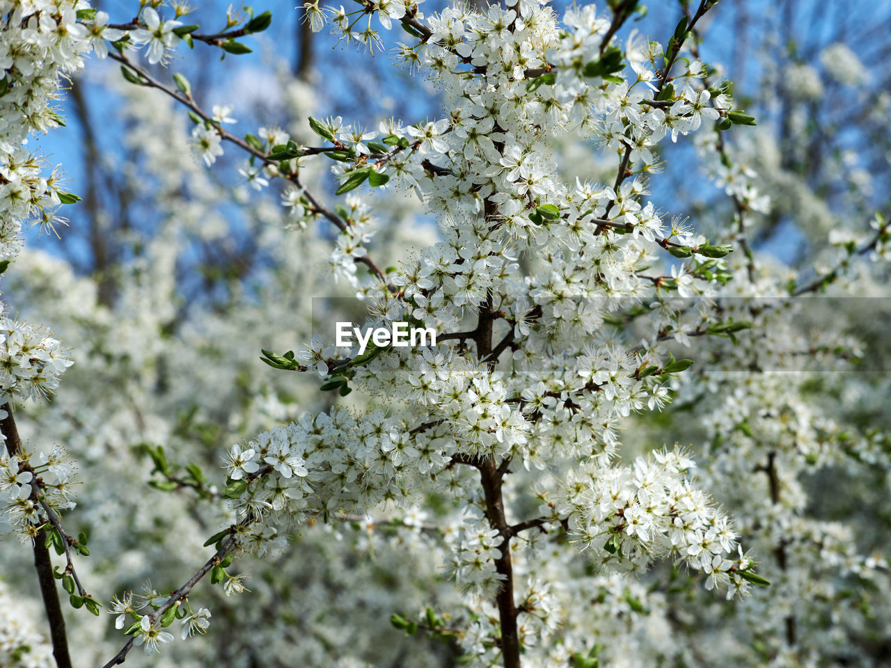 plant, flower, tree, flowering plant, blossom, springtime, branch, fragility, vulnerability, beauty in nature, growth, freshness, nature, day, white color, fruit tree, selective focus, no people, focus on foreground, close-up, cherry blossom, outdoors, flower head, cherry tree, softness, spring