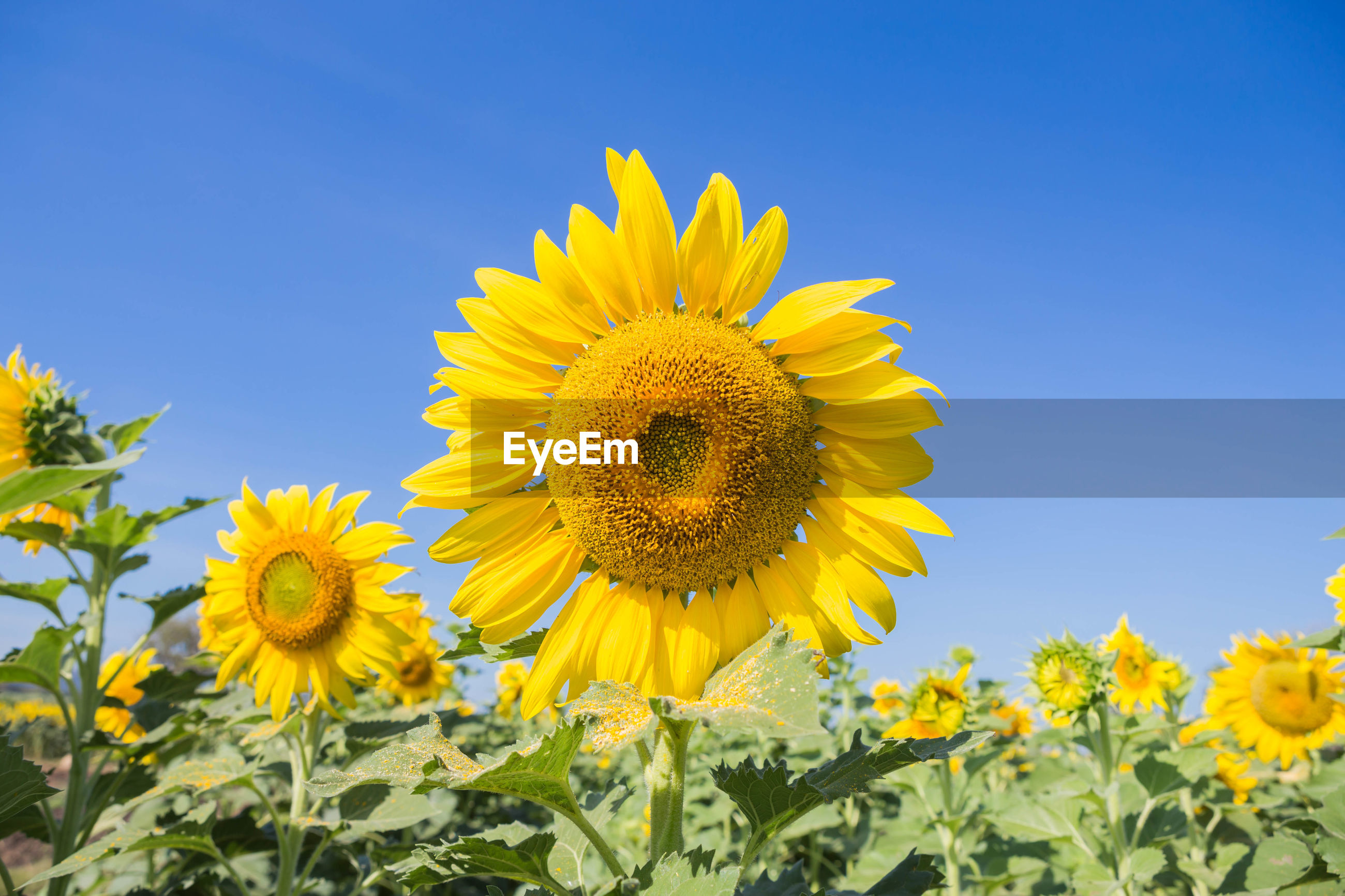 CLOSE-UP OF YELLOW SUNFLOWER IN FIELD