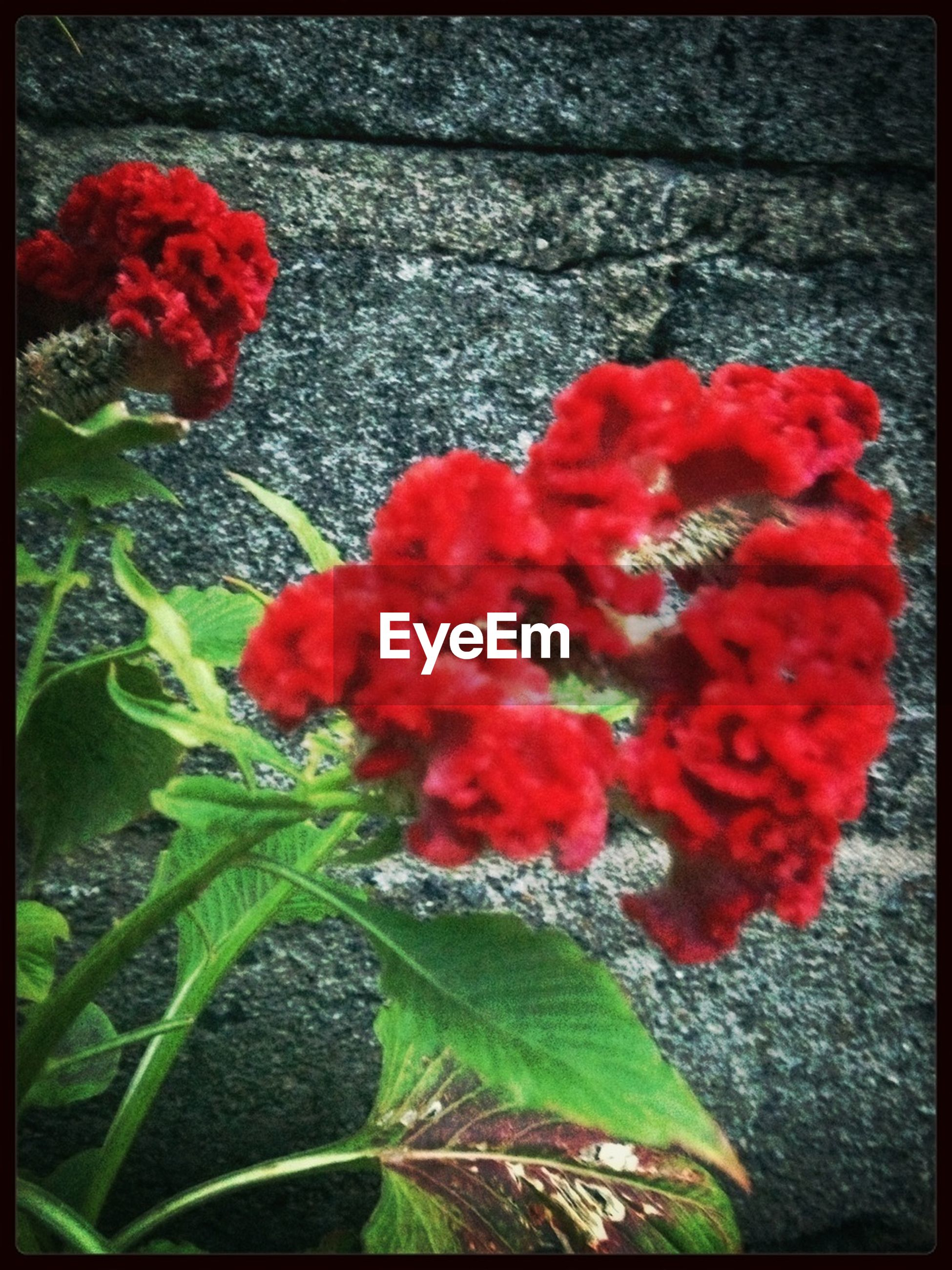 flower, red, transfer print, freshness, petal, growth, fragility, auto post production filter, plant, flower head, beauty in nature, leaf, nature, blooming, close-up, high angle view, in bloom, day, outdoors, no people