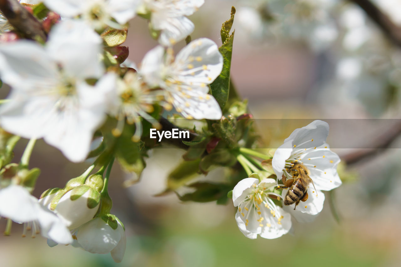 flower, flowering plant, plant, vulnerability, growth, beauty in nature, fragility, petal, freshness, flower head, white color, close-up, inflorescence, pollen, focus on foreground, no people, selective focus, nature, day, tree, springtime, cherry blossom, pollination