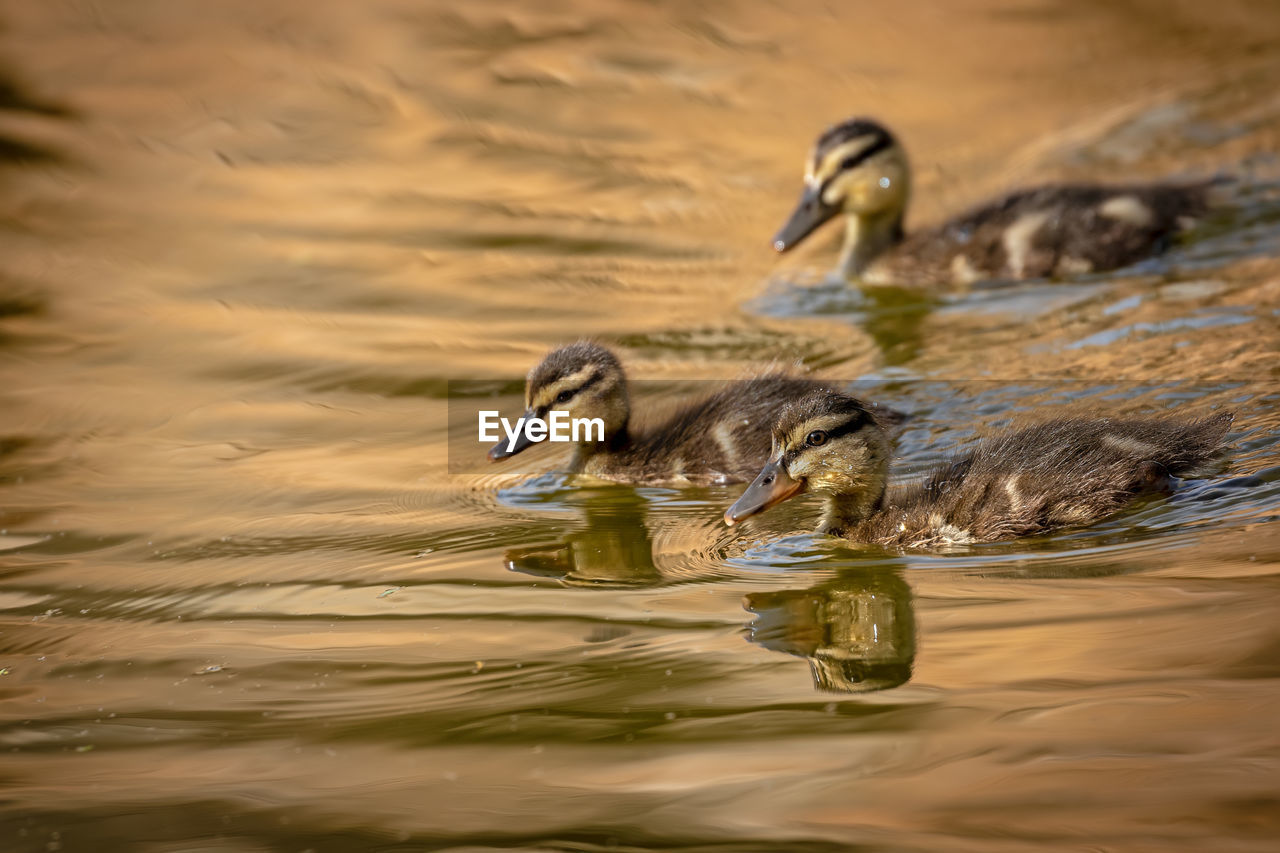 Young Ducks Swimming In Lake