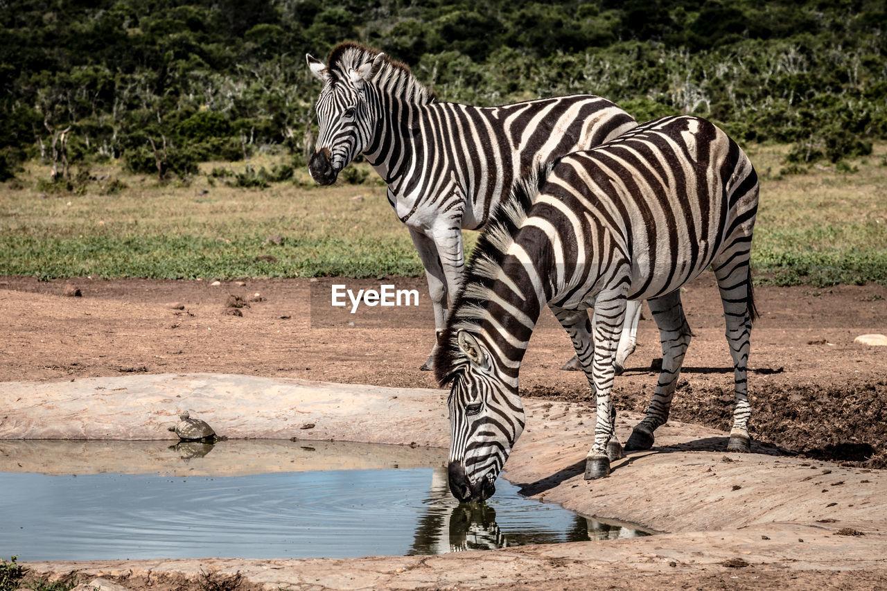 VIEW OF ZEBRA DRINKING WATER