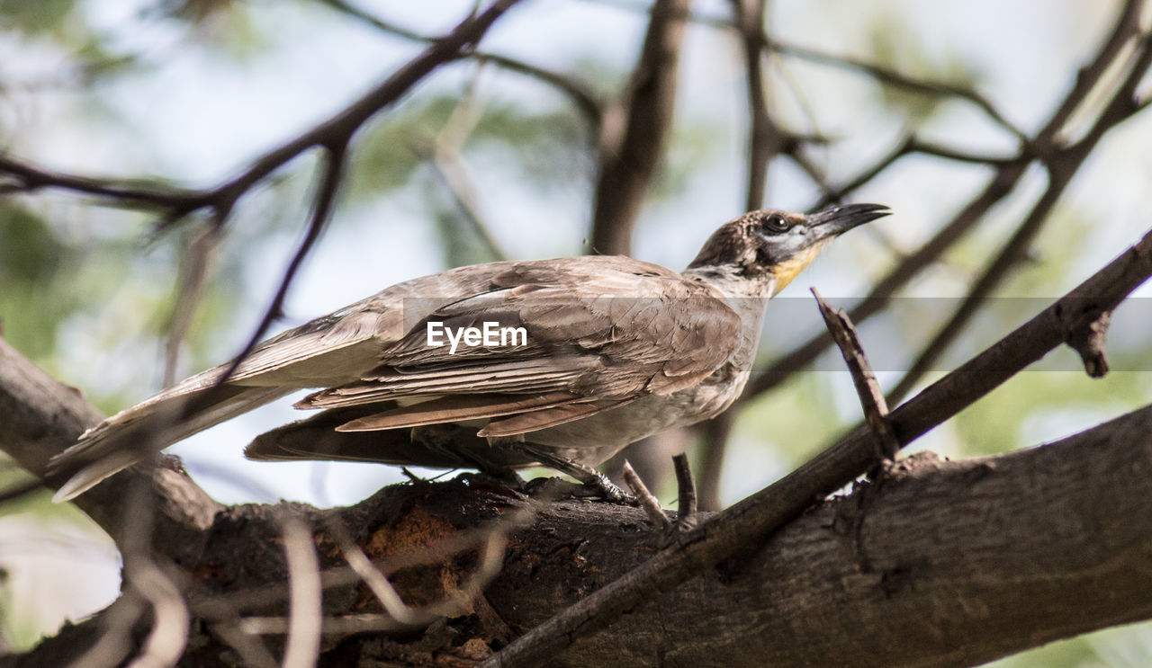 bird, animals in the wild, animal wildlife, animal themes, one animal, branch, perching, nature, tree, day, no people, outdoors, sparrow, bird of prey, close-up