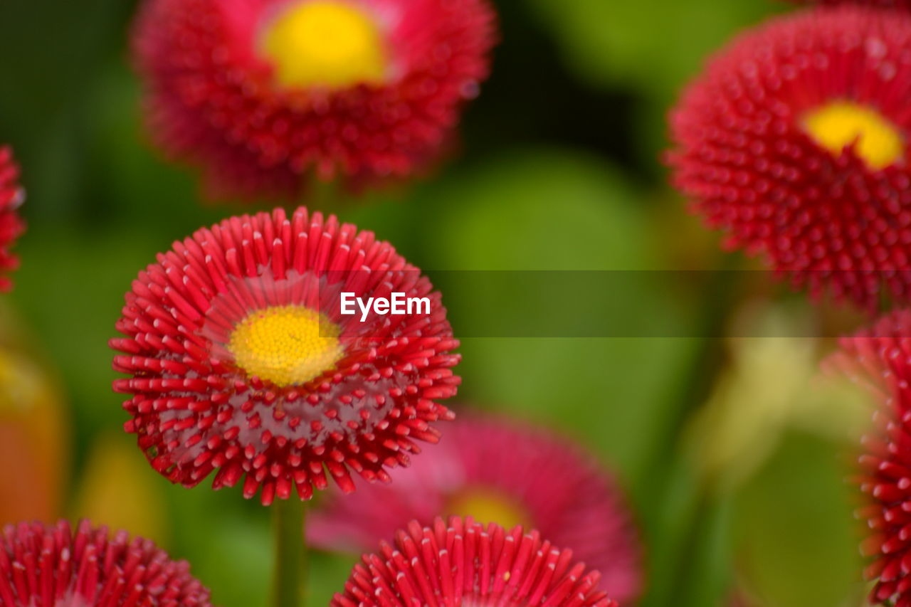 flower, growth, beauty in nature, freshness, nature, fragility, plant, flower head, red, no people, petal, blooming, close-up, day, outdoors